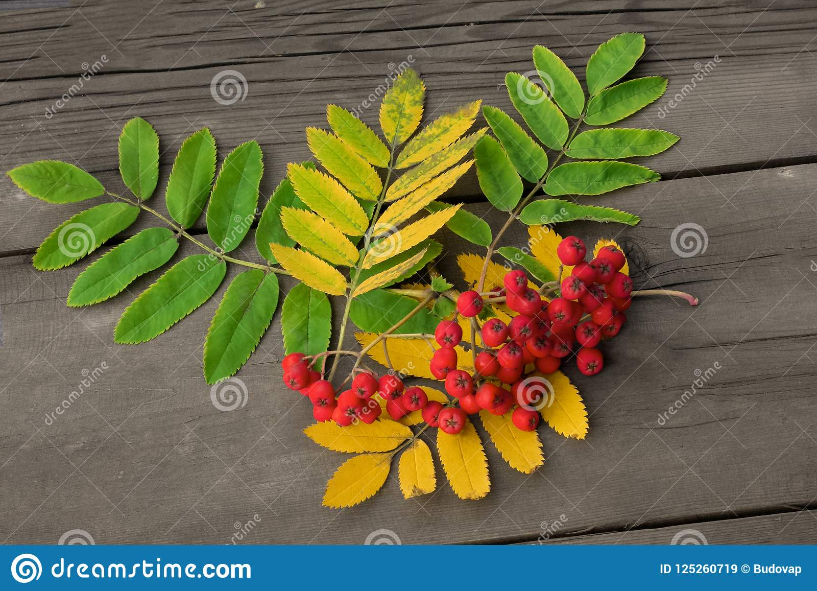 Rode bessen van lijsterbes met groene en gele bladeren op DA