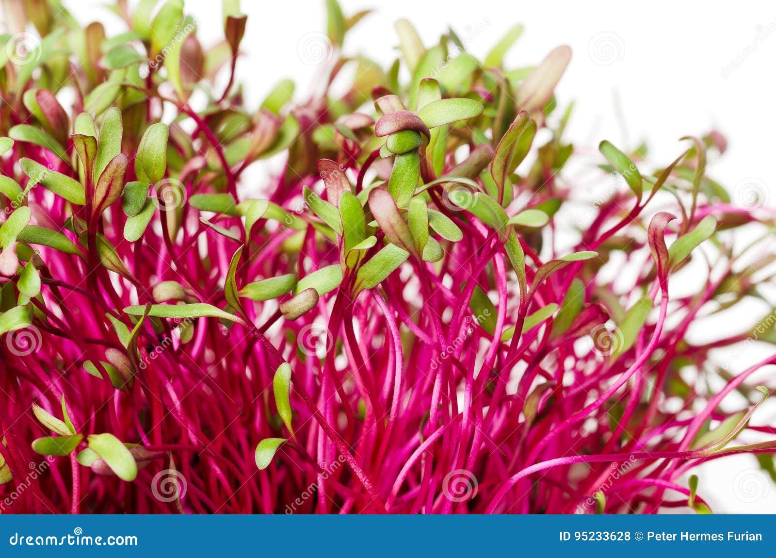 Rode bieten, verse spruiten en jonge bladeren