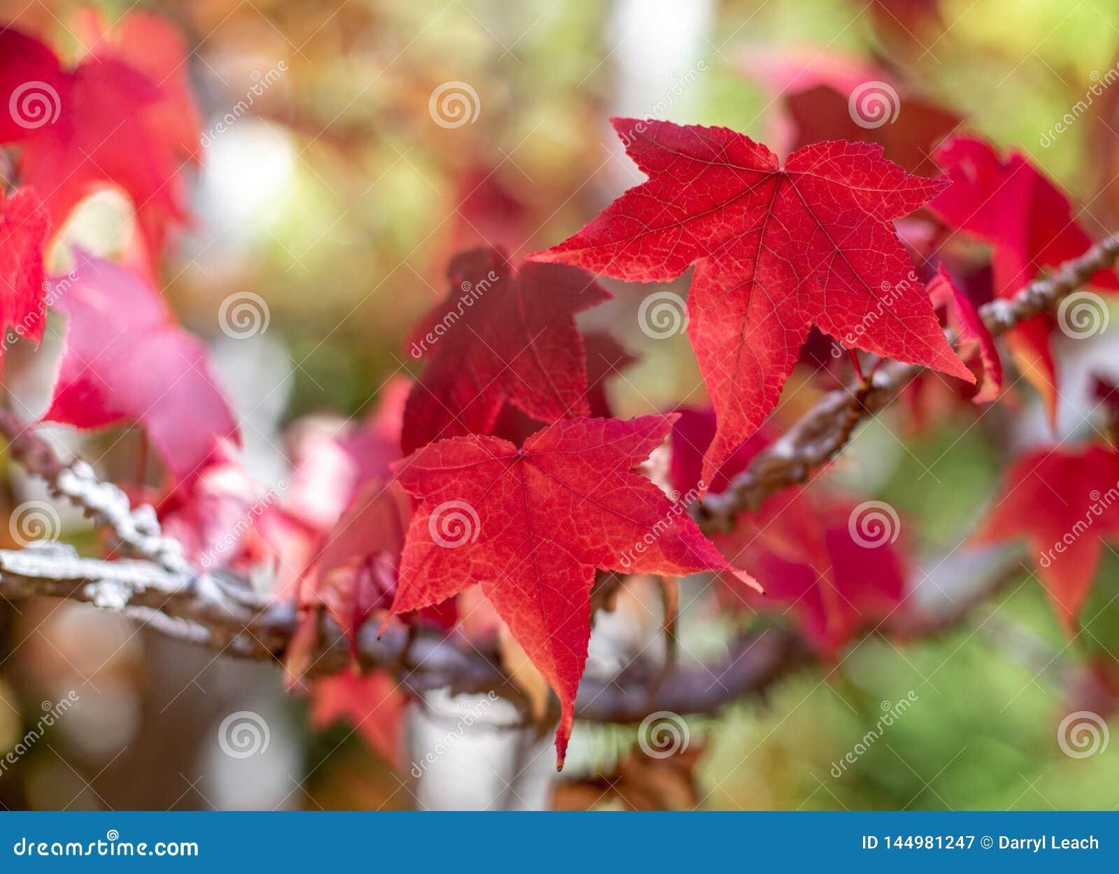 Rode bladeren tijdens het seizoen van de de herfstdaling in van Zuid- onderstel torenhoog botanisch tuinen Australi? op 16 April