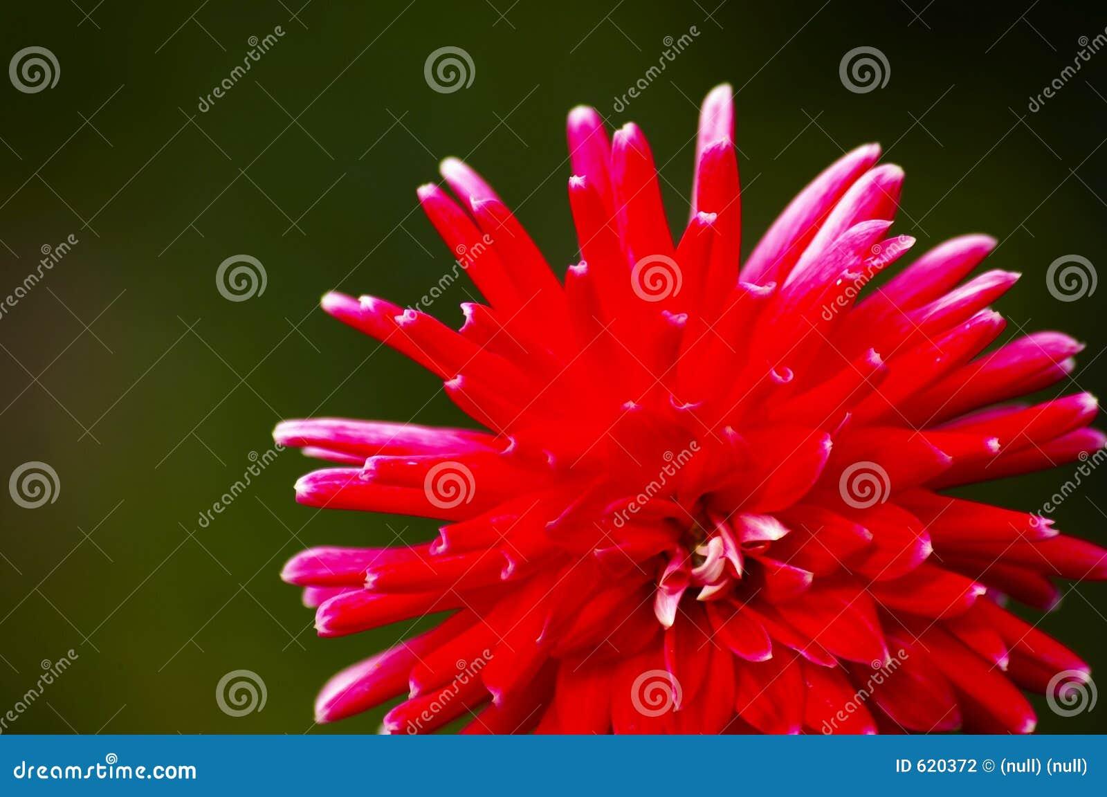 Rode bloem aginst de achtergrond