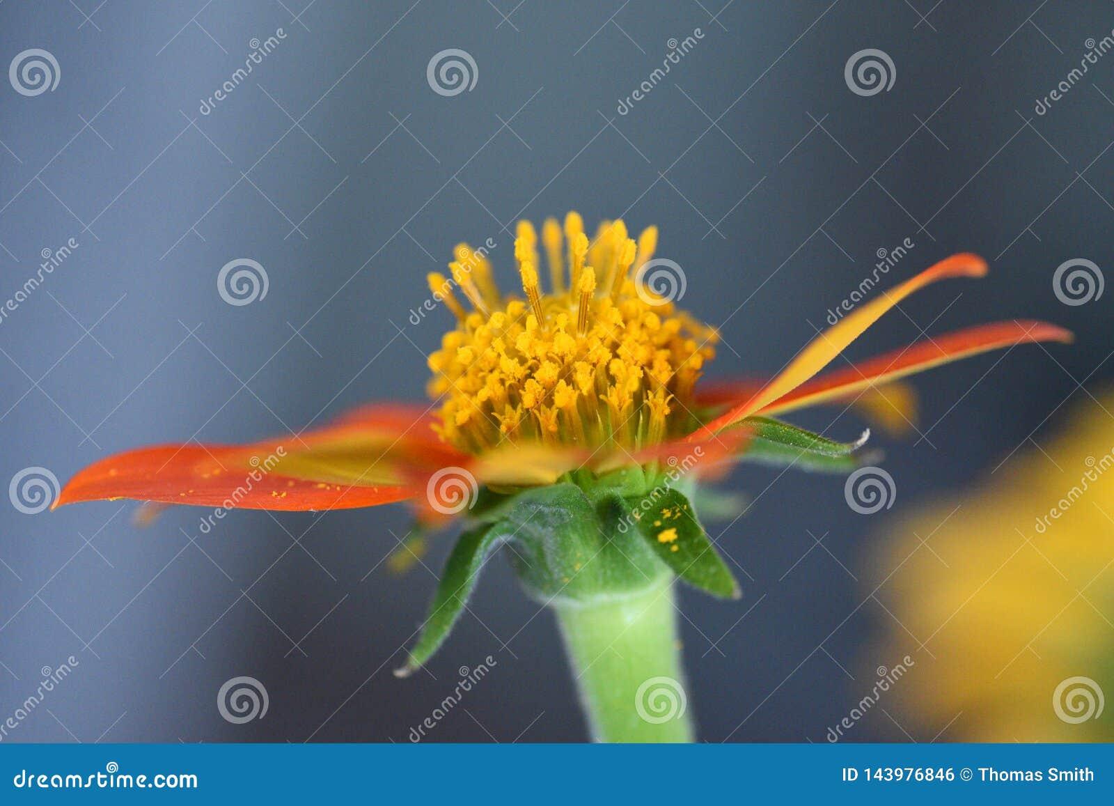 Rode bloem, het Mexicaanse Zonnebloem bloeien