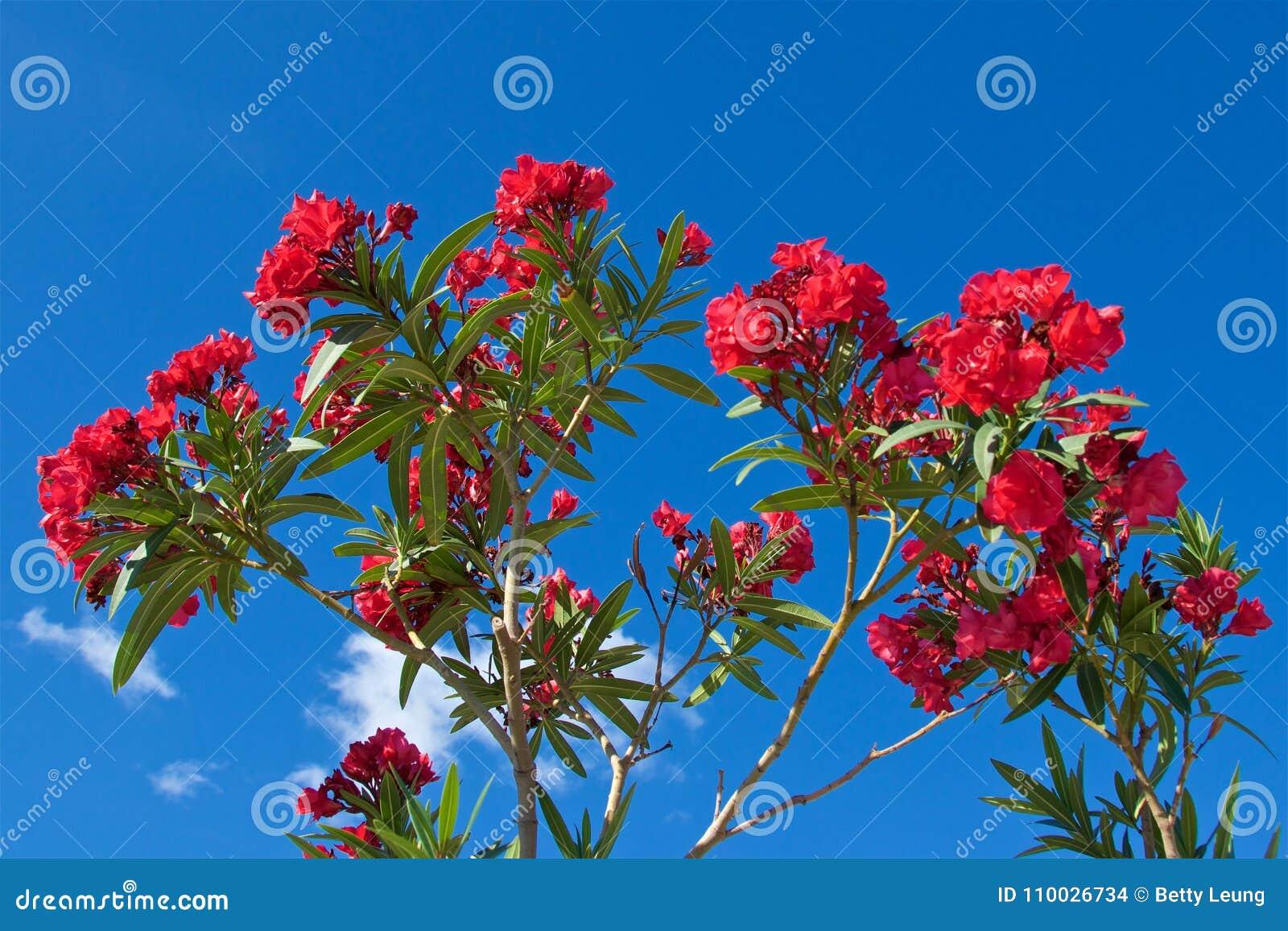 Rode bloemen die bij Kotor-Baai in Montenegro bloeien