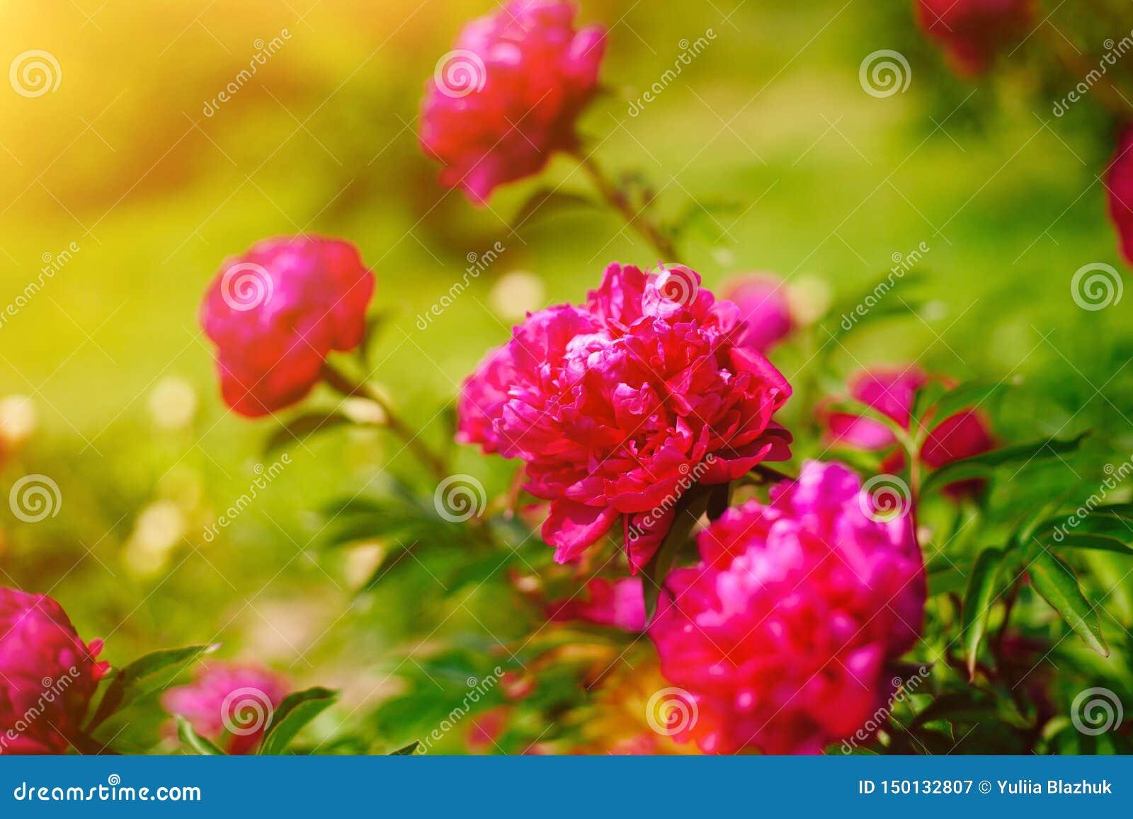 Rode bloempioen die in pioenentuin tot bloei komen Mooi vers groen gras en zacht zonlicht op de achtergrond