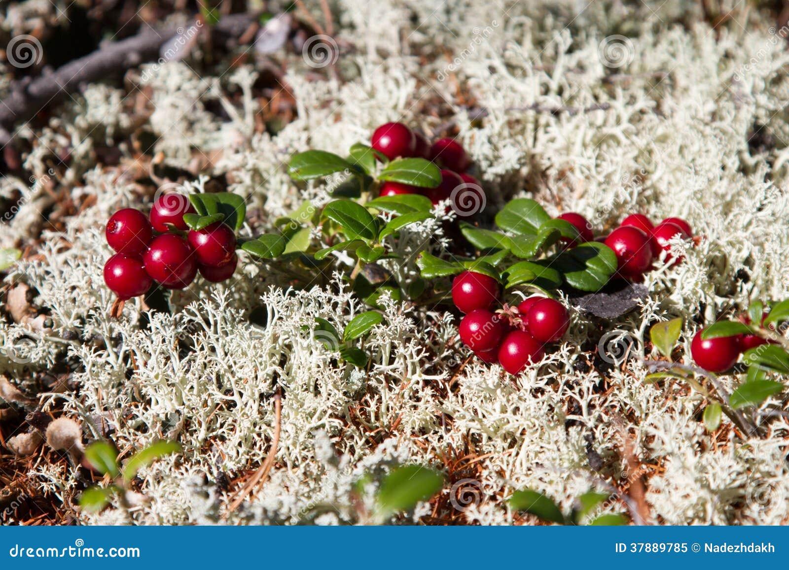 Rode bosbessen