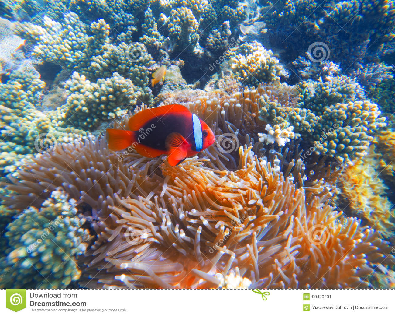 Rode clownvissen in actinia close-upfoto Clownfish in koraalrif