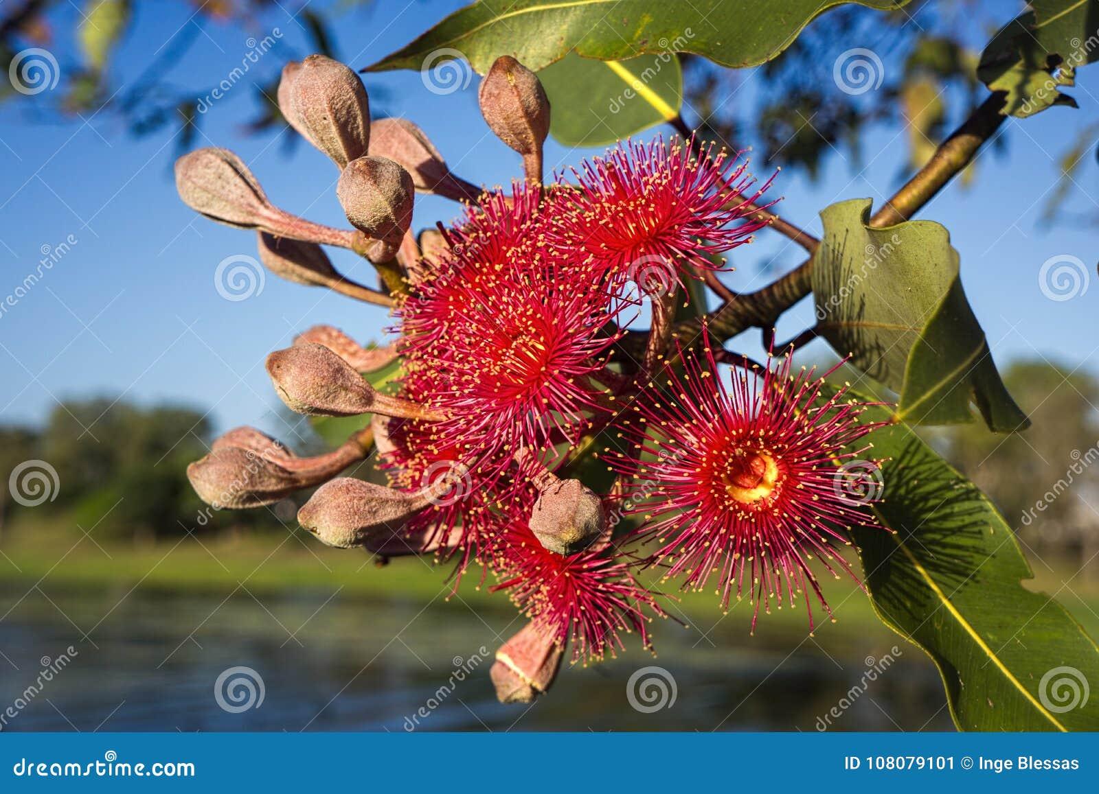 Rode de boombloemen van de gomeucalyptus
