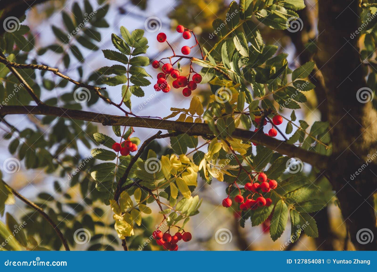 Rode die vruchten met de gloed van zonsondergang worden gespoeld
