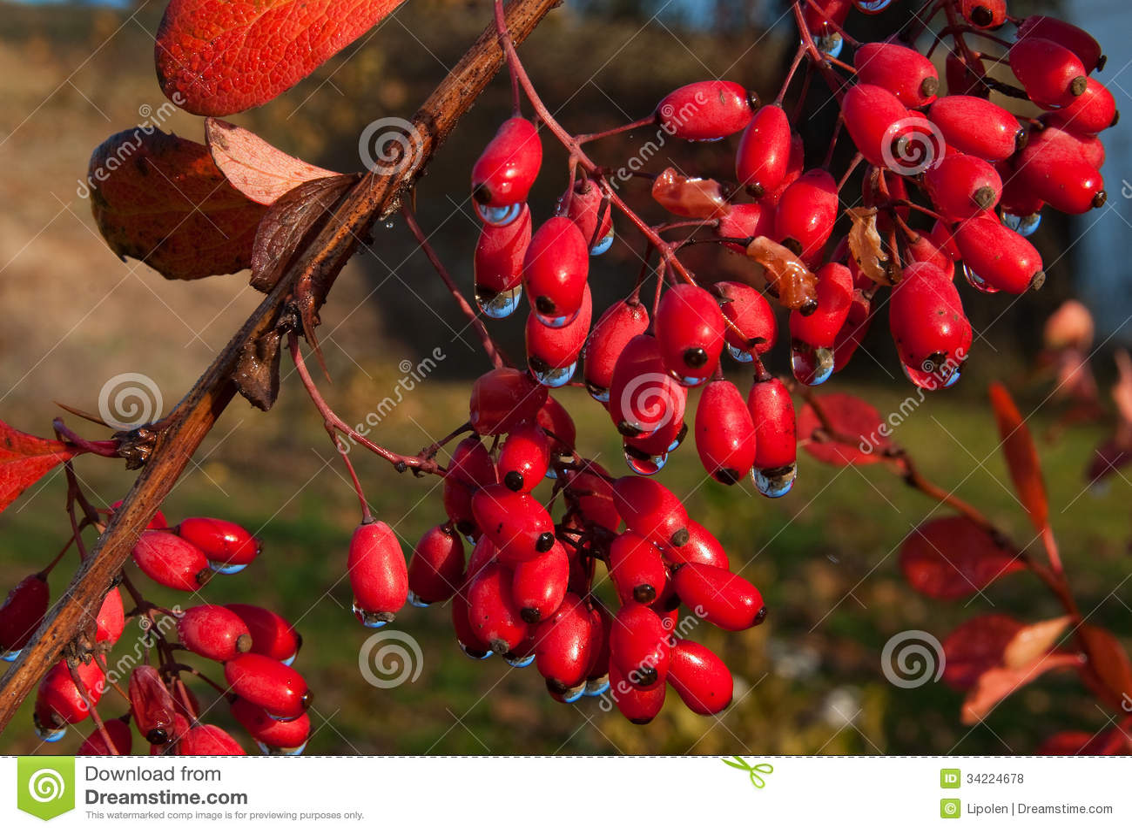 Rode dogberry struik in de herfst royalty vrije stock foto 39 s beeld 34224678 - Bush architectuur ...