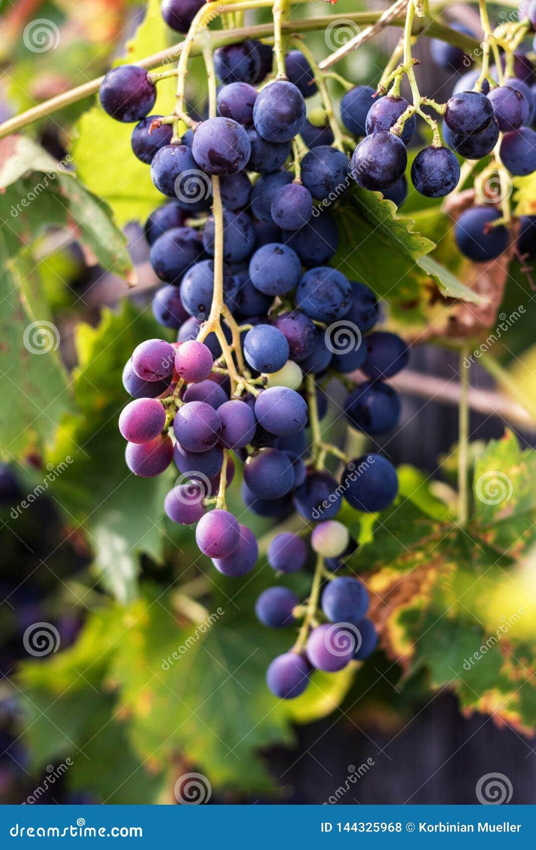 Rode druiven, wijnstok