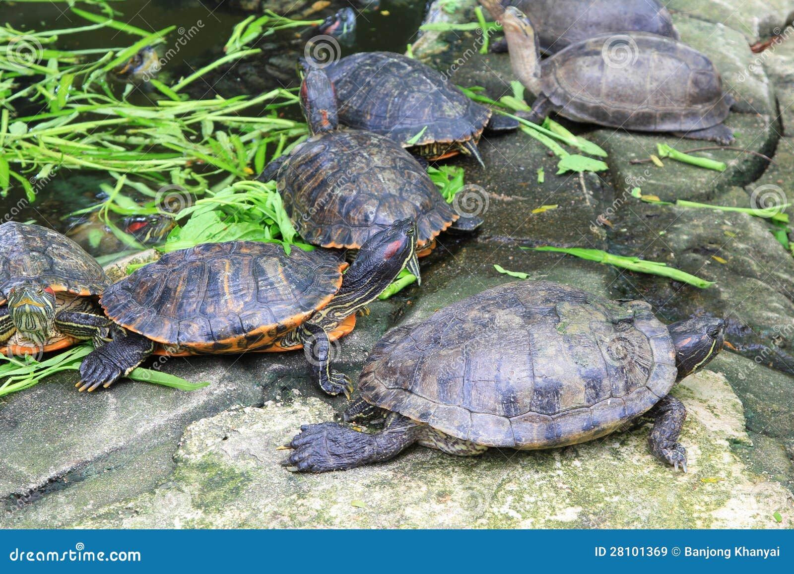 Rode eared schuifschildpadden