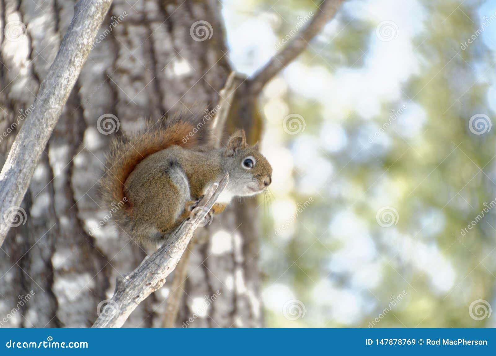 Rode eekhoorn in een boom