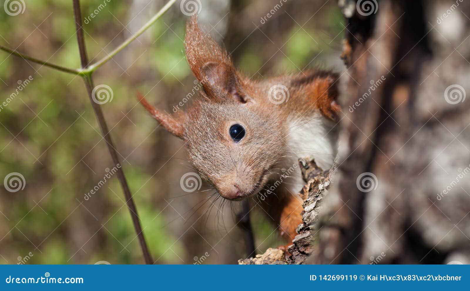 Rode eekhoorn in het bos, aandachtig beschouwen,