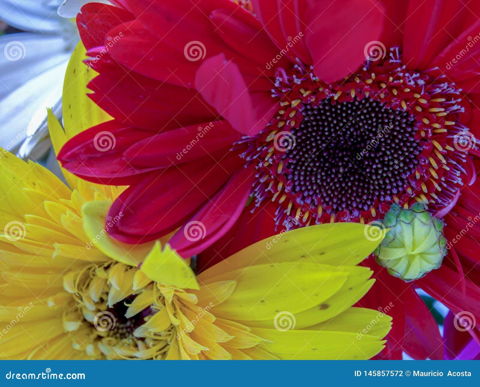 Rode en gele gerberabloemen