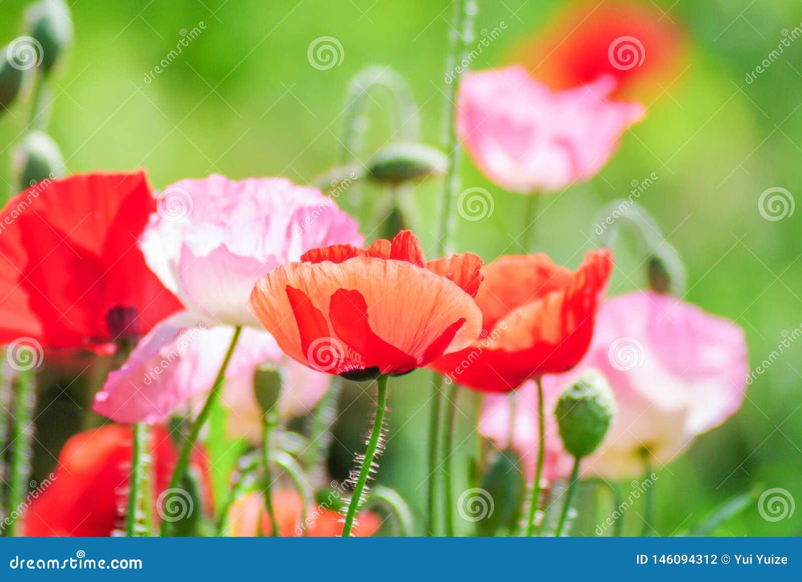 Rode en roze papaverbloemen op een gebied, rode papaver