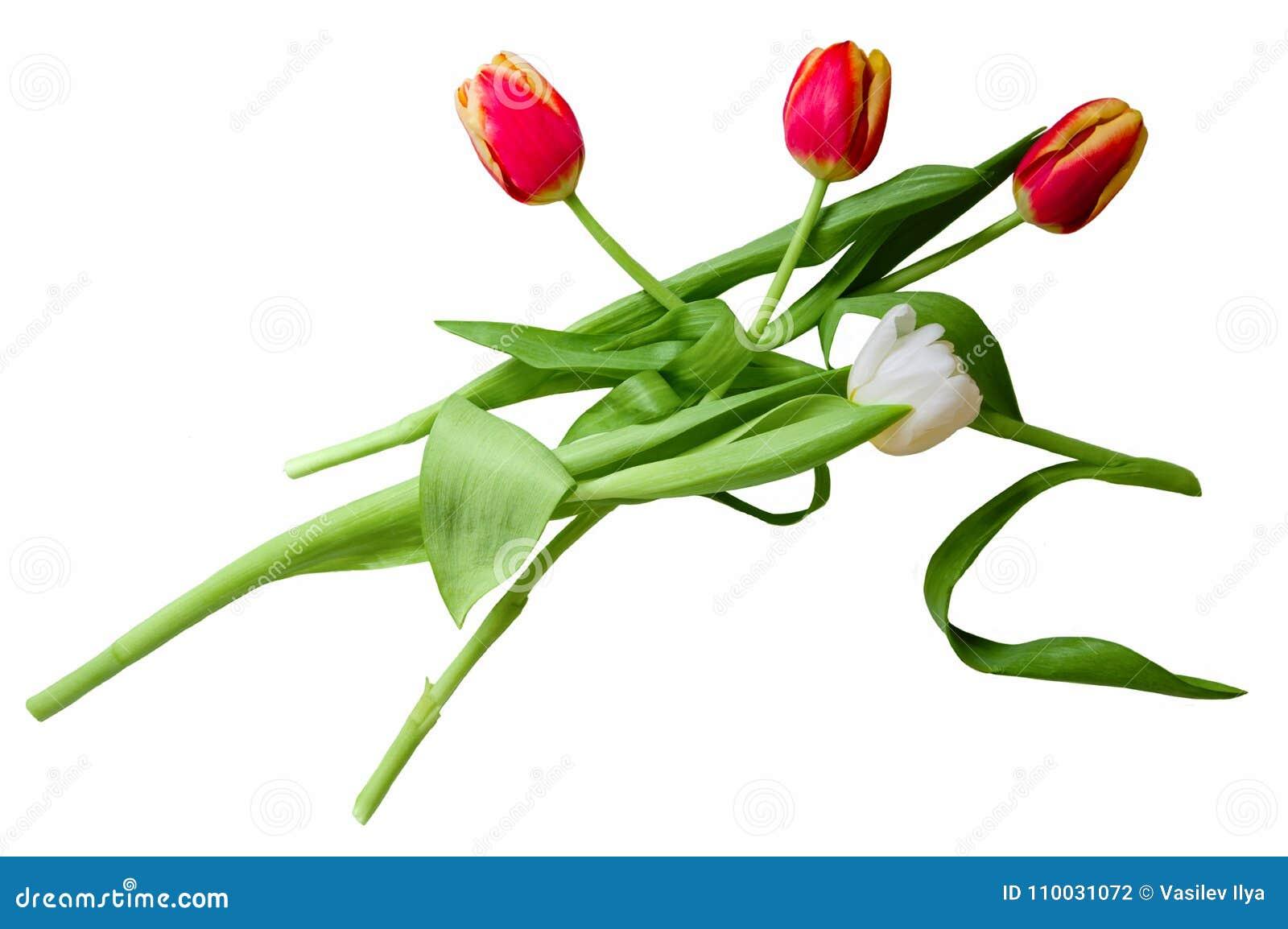 Rode en witte die tulpen op een wit worden geïsoleerd