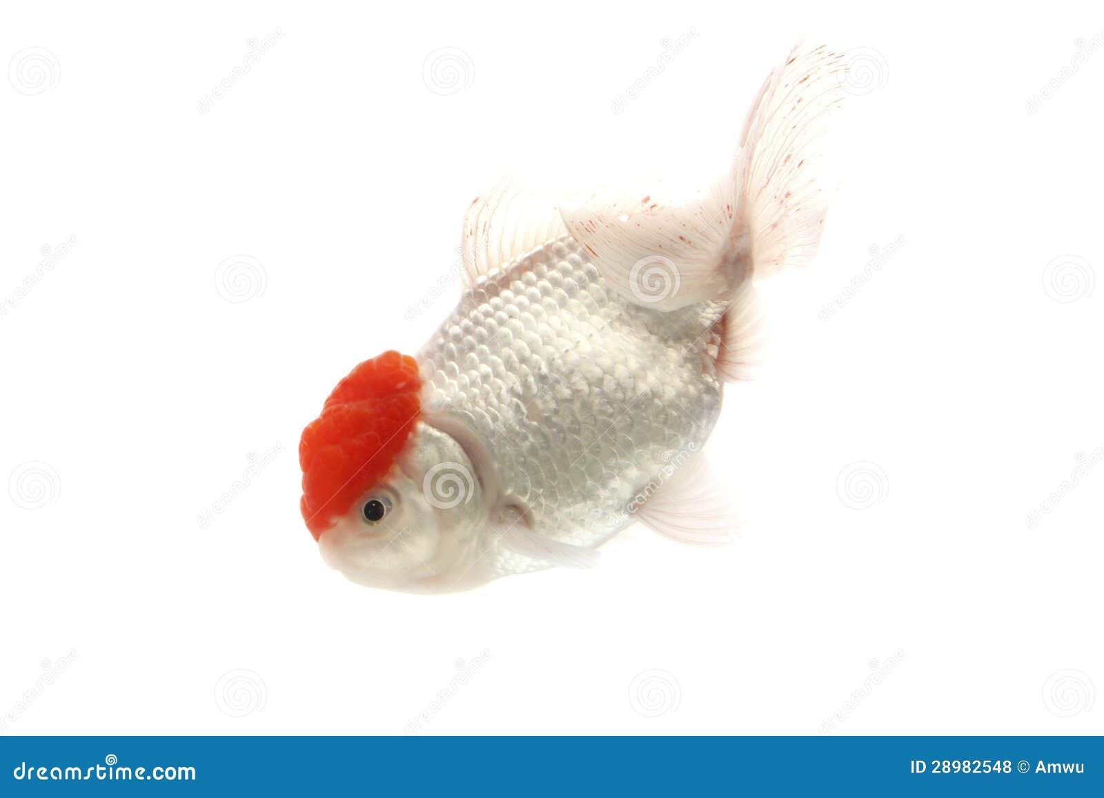 Rode en witte goudvis royalty vrije stock foto 39 s afbeelding 28982548 - Witte meubels en rode ...