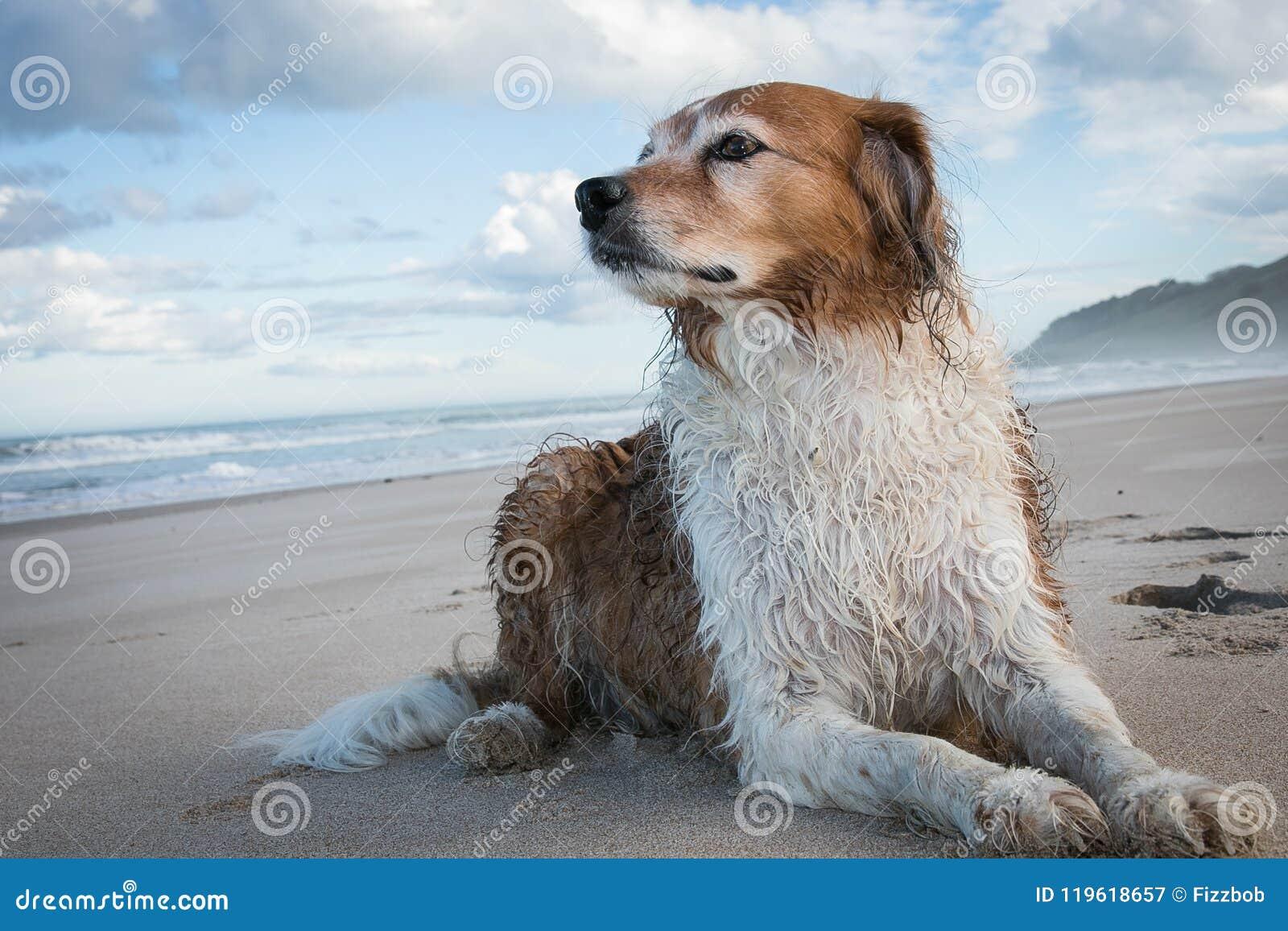 Rode en witte krullende haired collietype hond bij een strand
