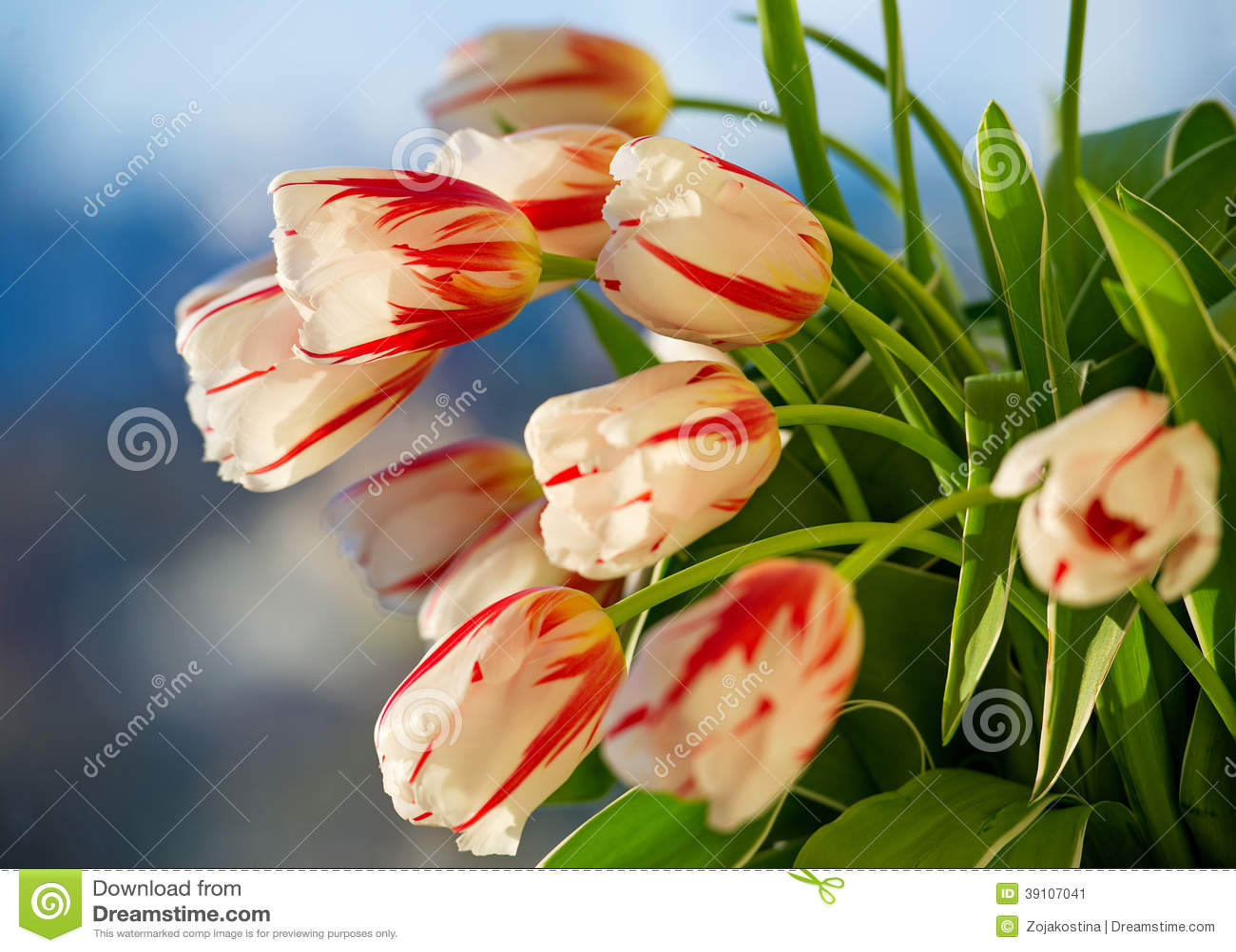 Rode en witte mooie tulpenclose-up