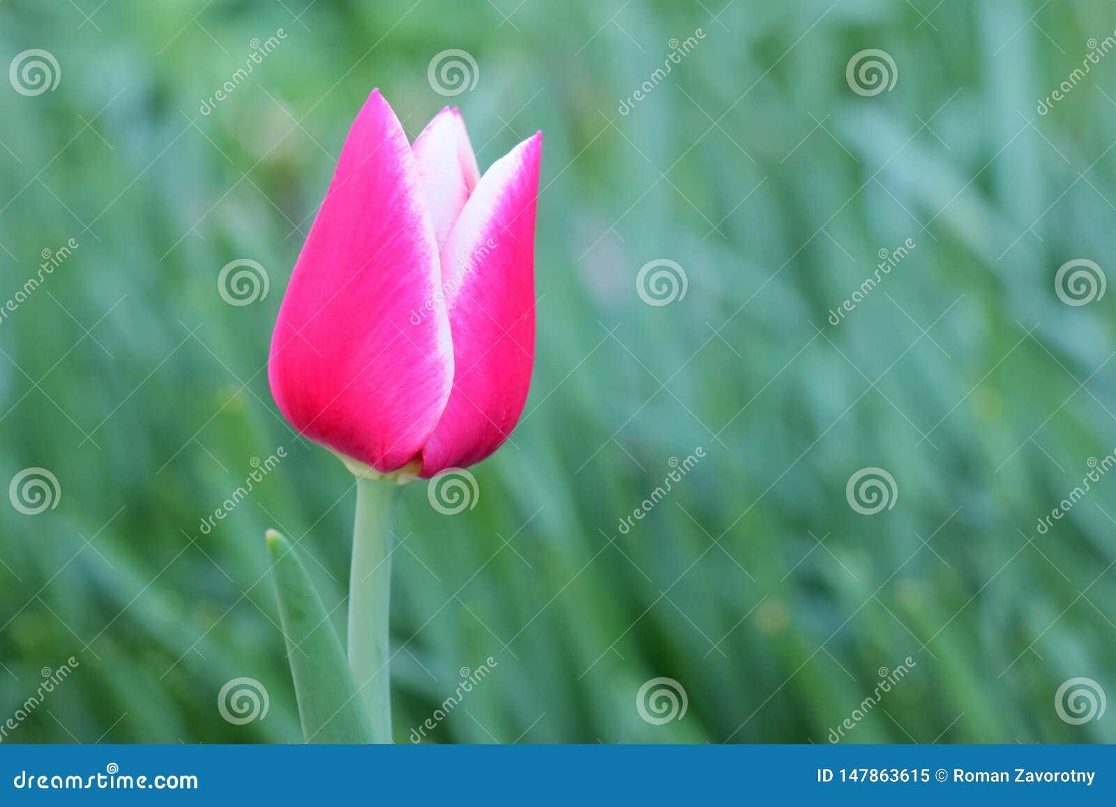 Rode en witte Tulp op groene achtergrond