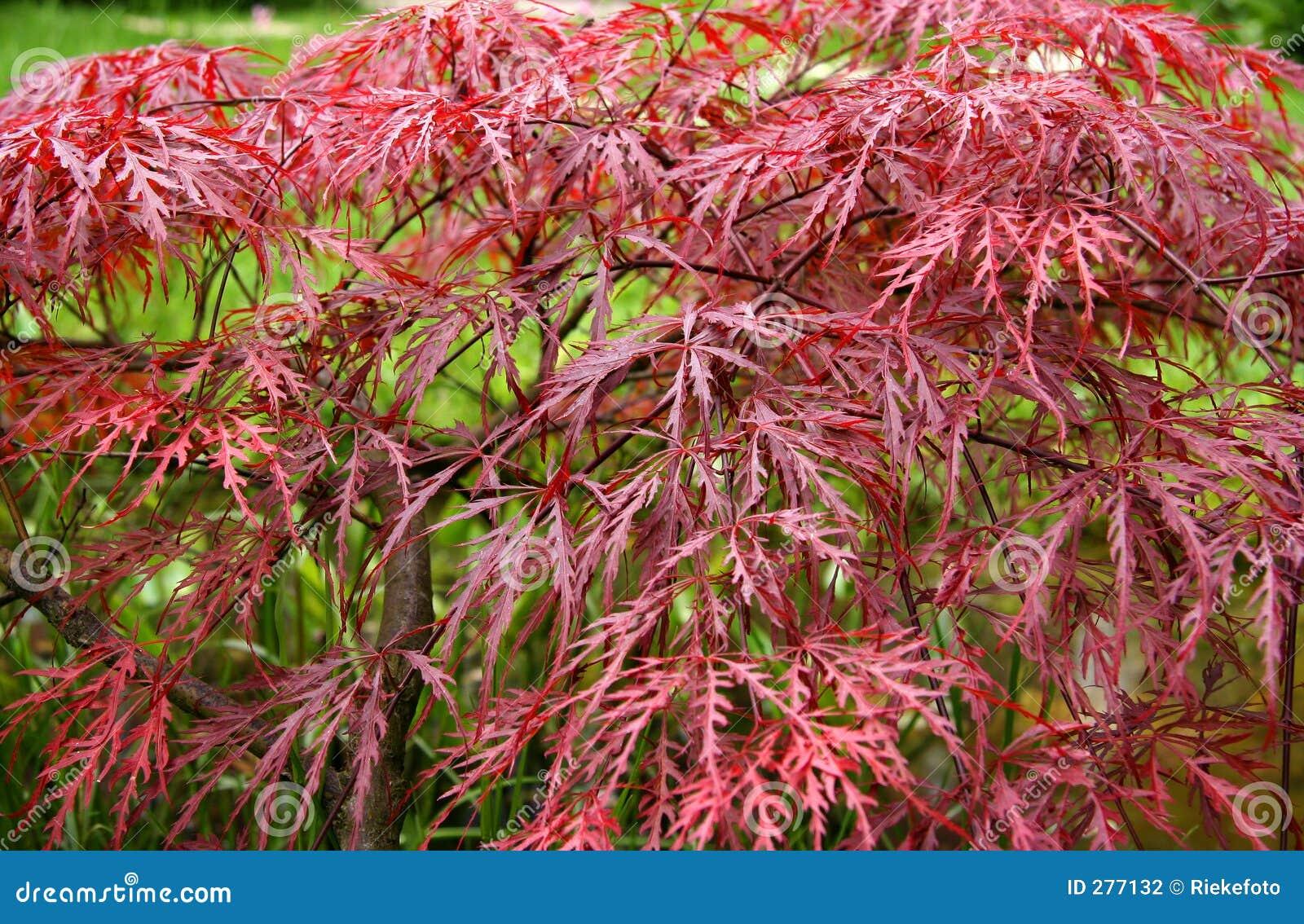 Rode Esdoorn in de Herfst