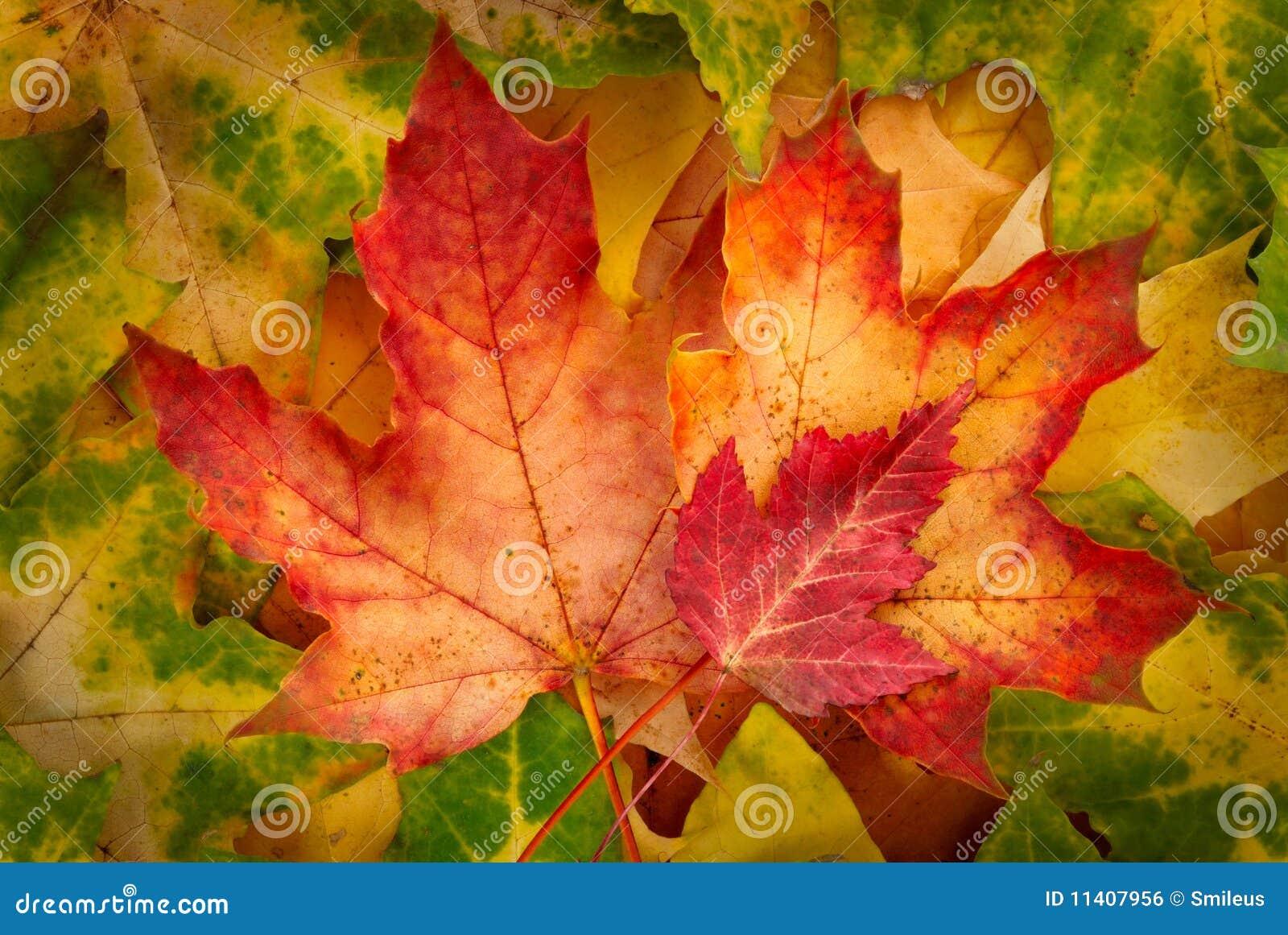 Rode esdoornbladeren