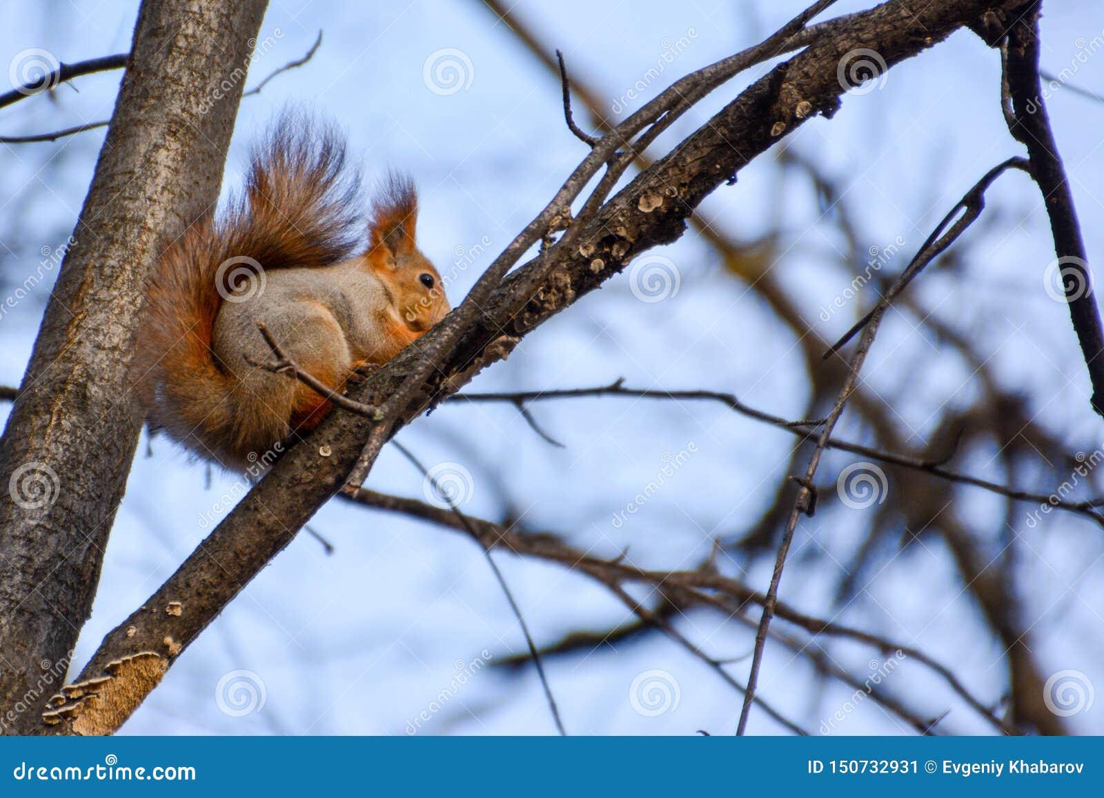 Rode euroasian eekhoorn op de tak