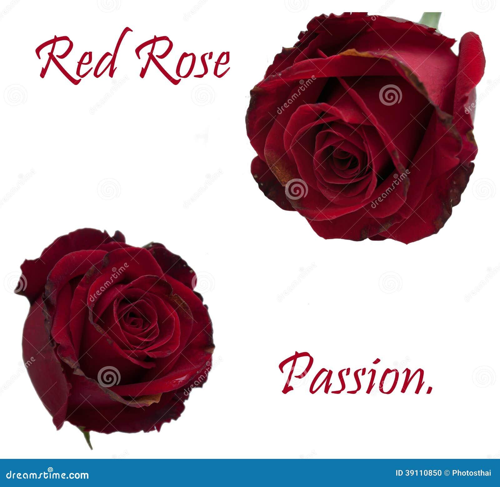 Rode geïsoleerde rozen