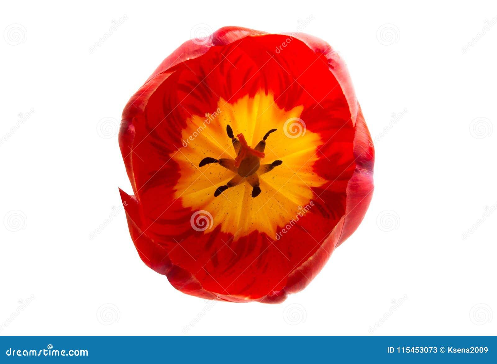 Rode geïsoleerde tulpenbloem