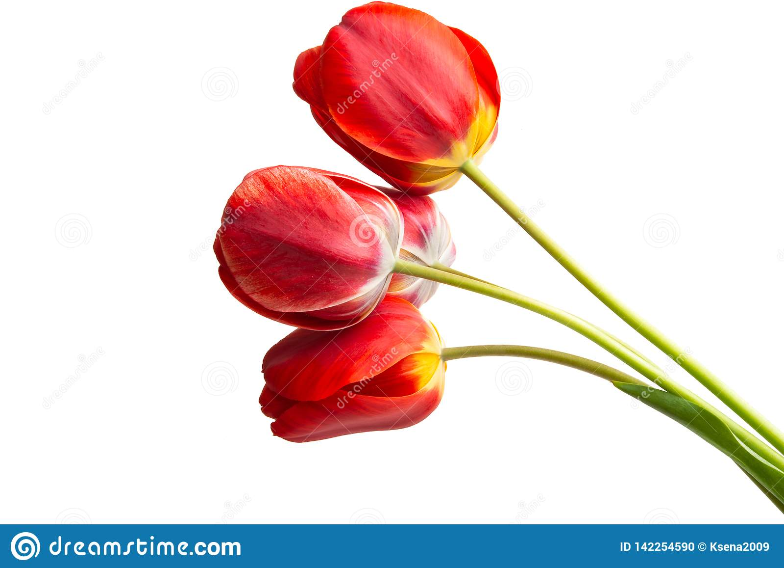 Rode Geïsoleerdet Tulp