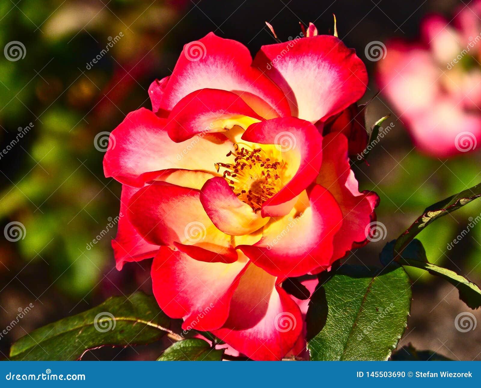 Rode Geel nam in Parnell Rose Garden, Auckland, Nieuw Zeeland toe