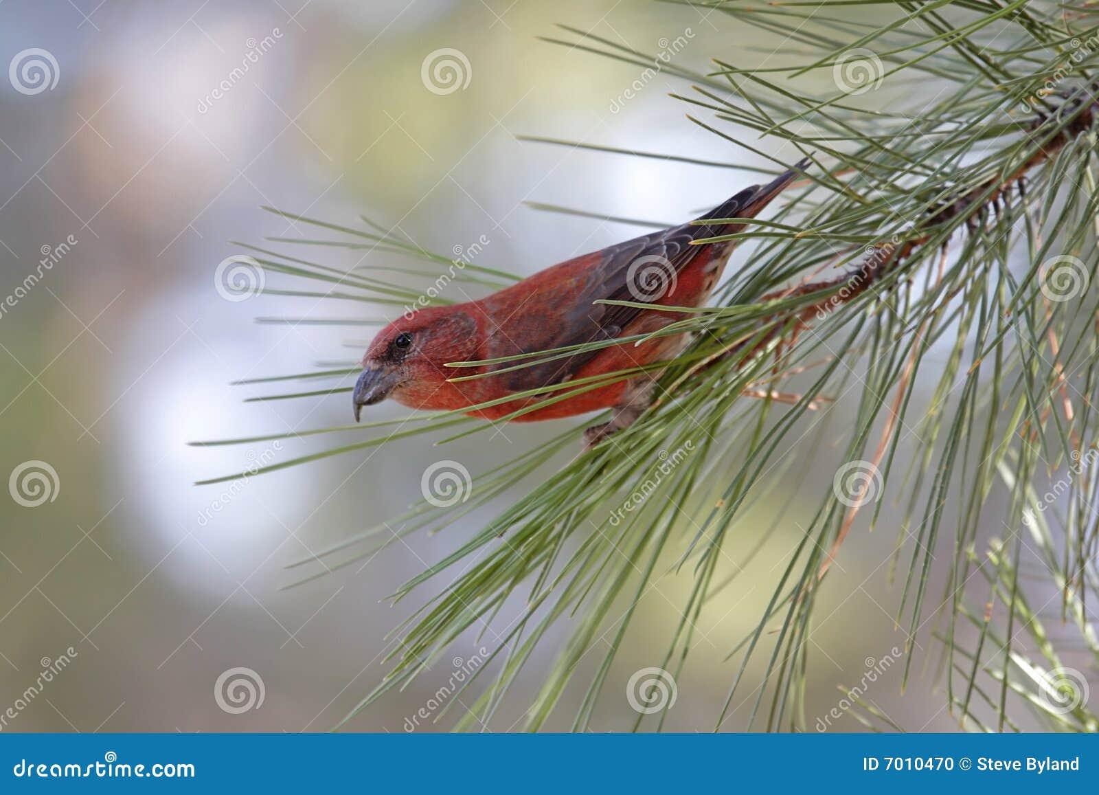 Rode (of Gemeenschappelijk) Crossbill