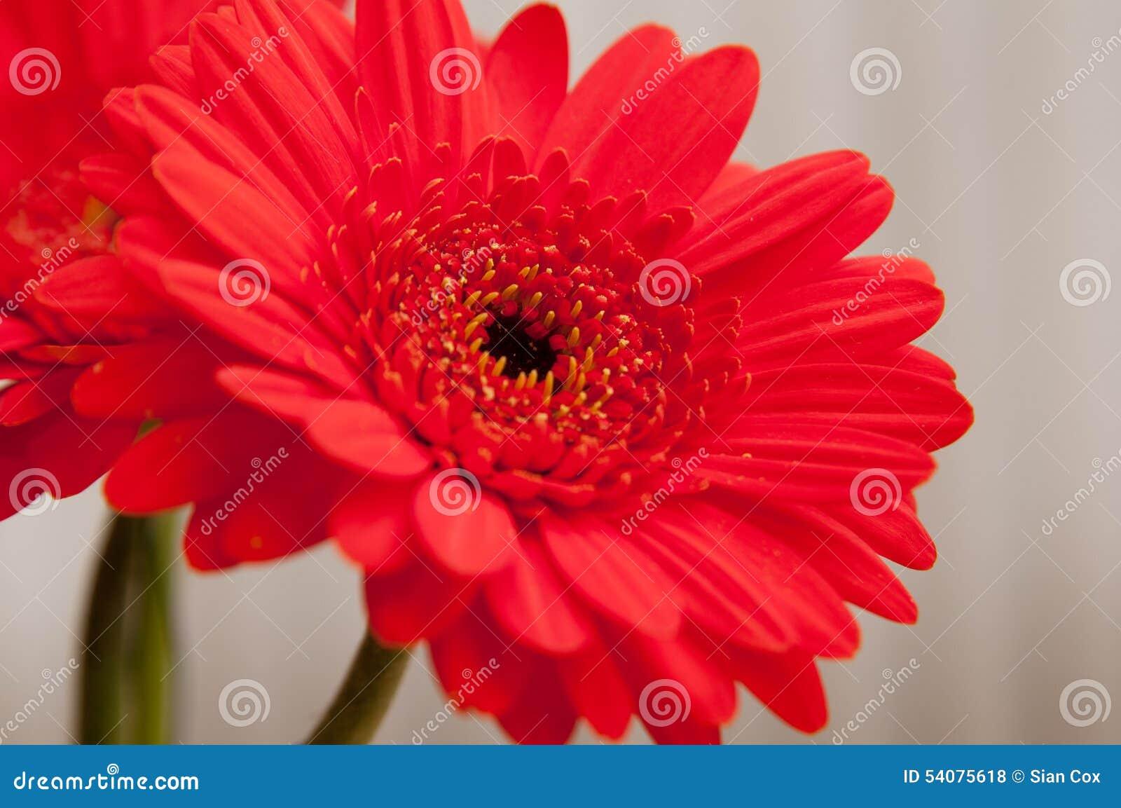 Rode Gerber Daisy