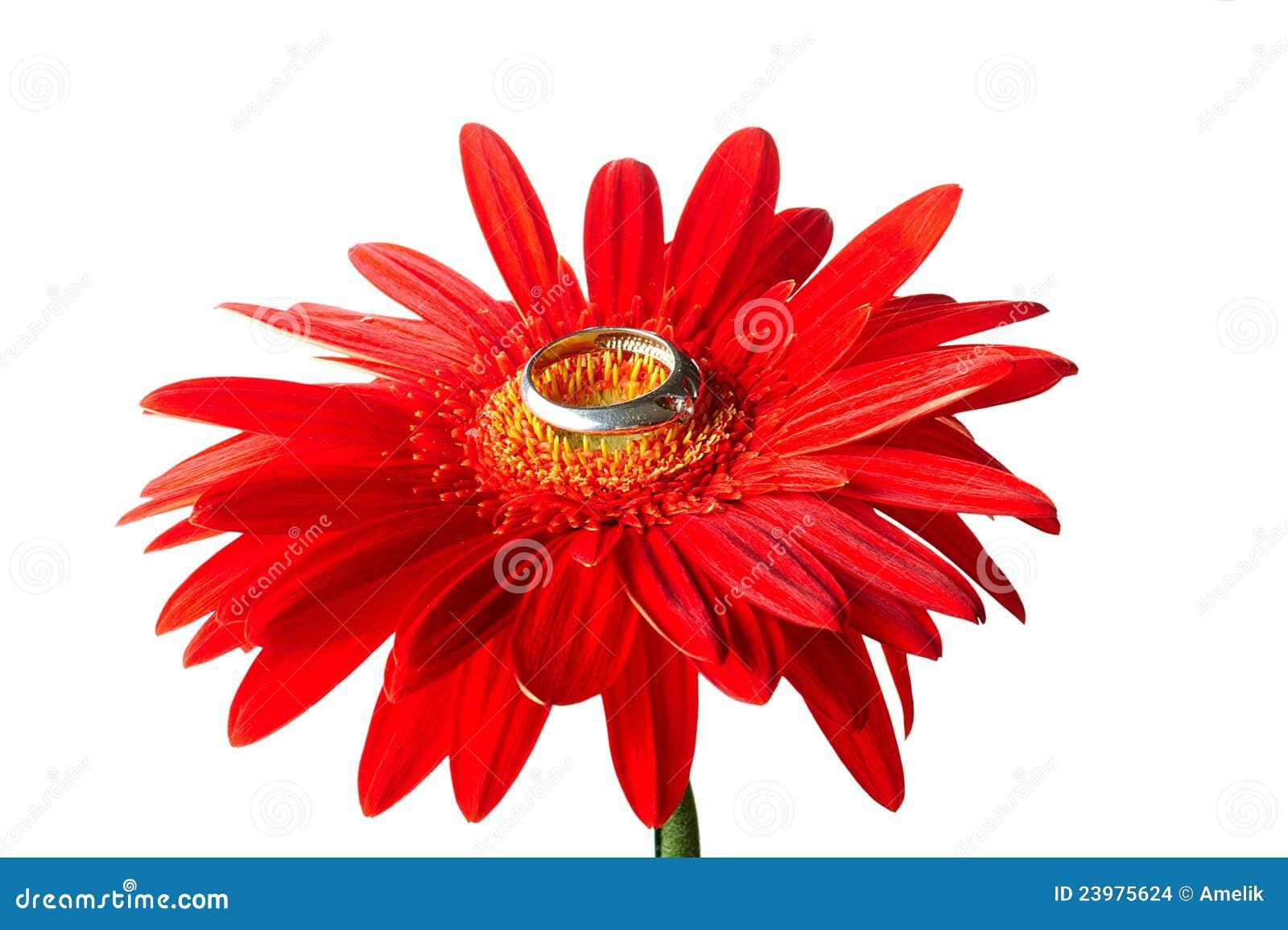 Rode gerbera met de zilveren ring stock foto afbeelding for Gerbera in de tuin