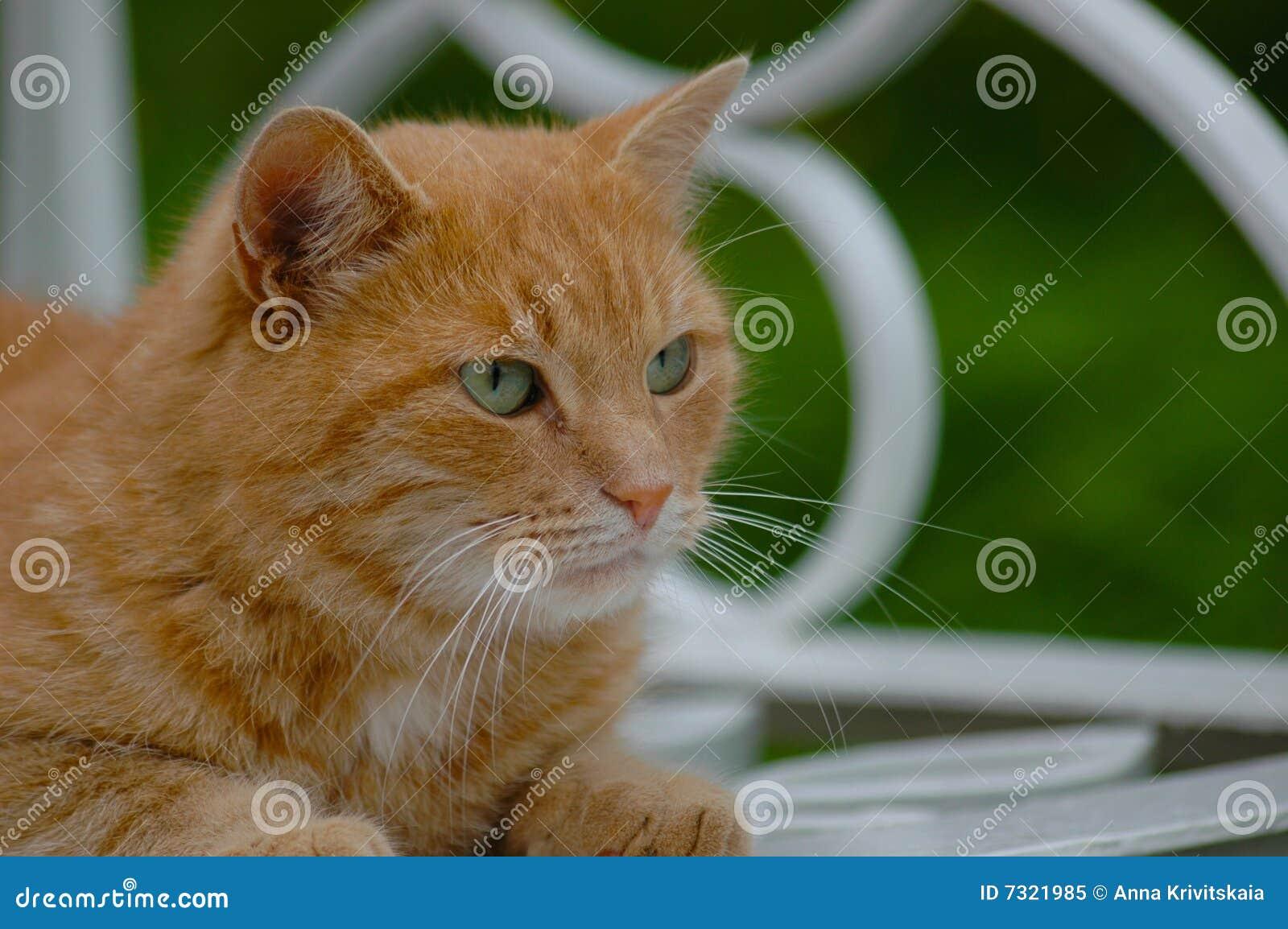 Rode groen-eyed kat