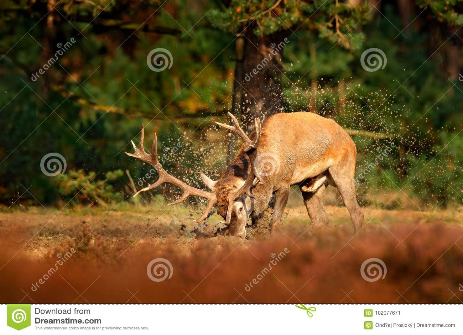 Rode herten, bronst, het water van de modderklei - bad Hertenmannetje, blaasbalg majestueus krachtig volwassen dierlijk buiten ho