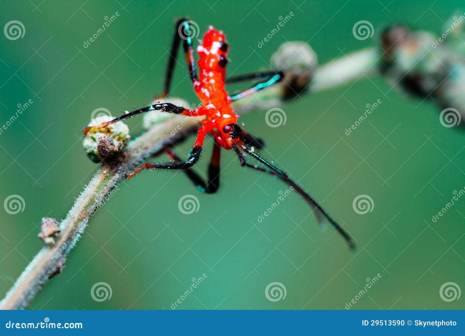 Rode het insectennimf van de Moordenaar