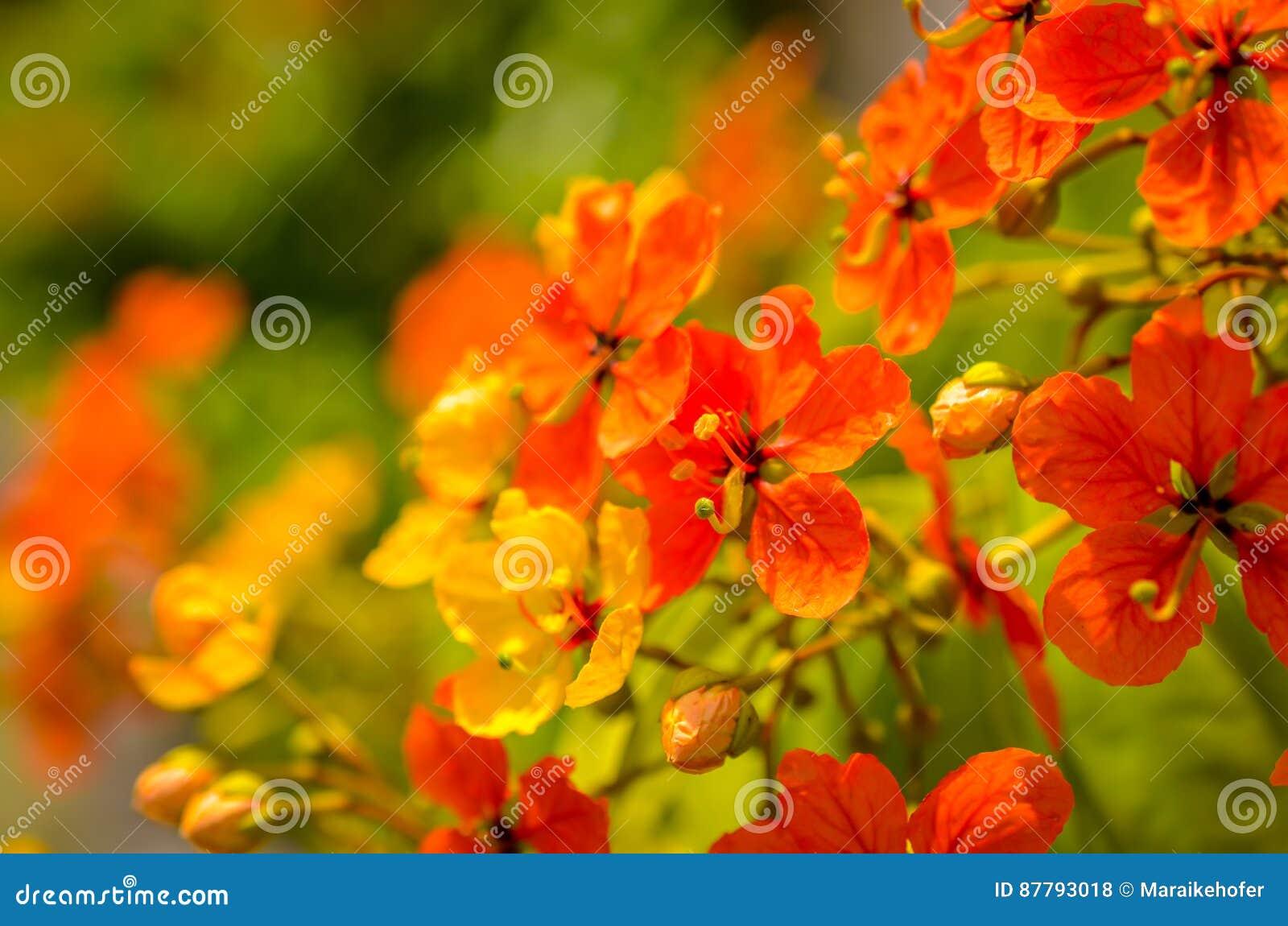 Rode hibiscusbloesems in zonlicht