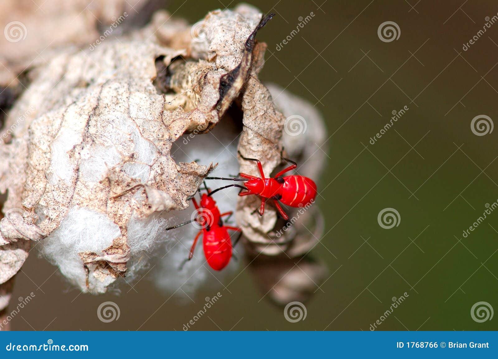 Rode insecten op Katoenen Bol