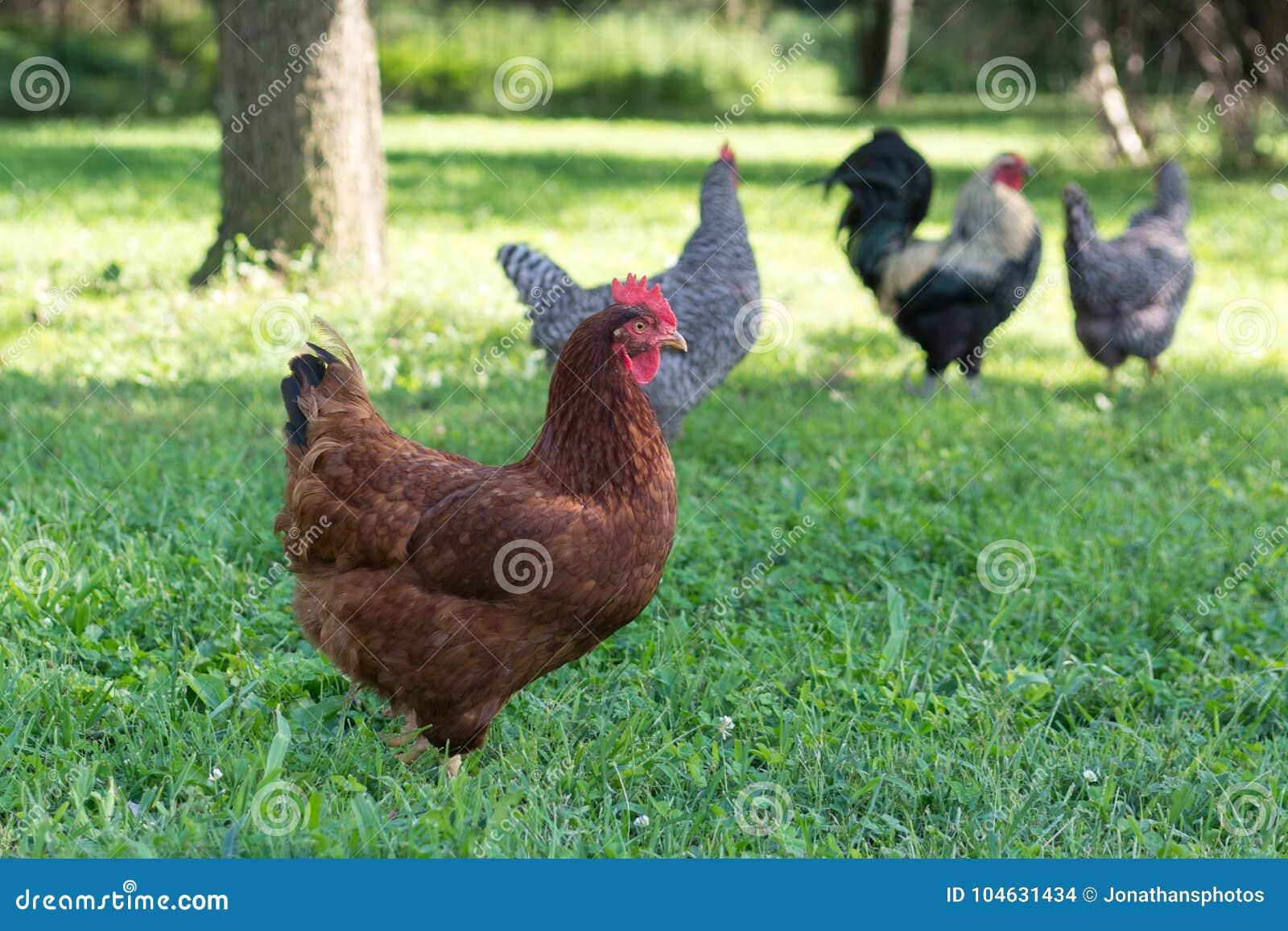 Download Rode Kip En Andere Kippen Op Achtergrond Stock Foto - Afbeelding bestaande uit geacclimatiseerd, levend: 104631434