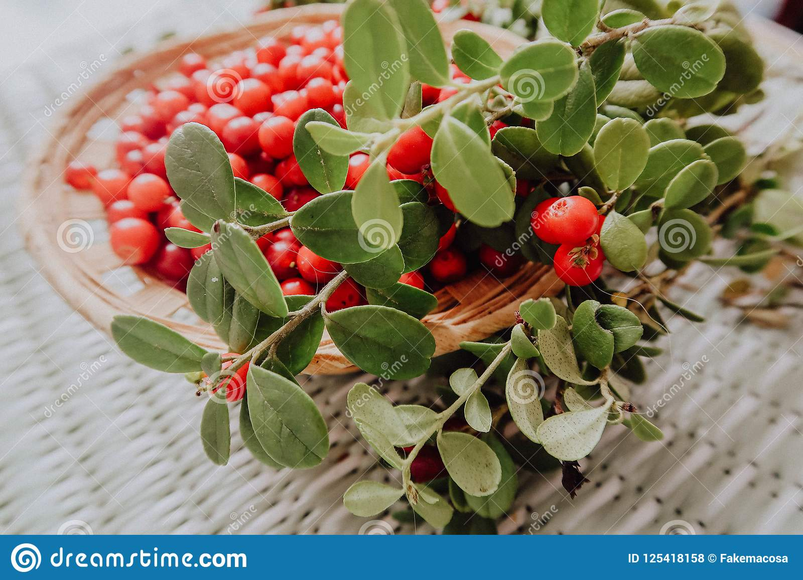 Rode Lingonberry in de bosvossebes Europees-Aziatische flora, lingonberry bos