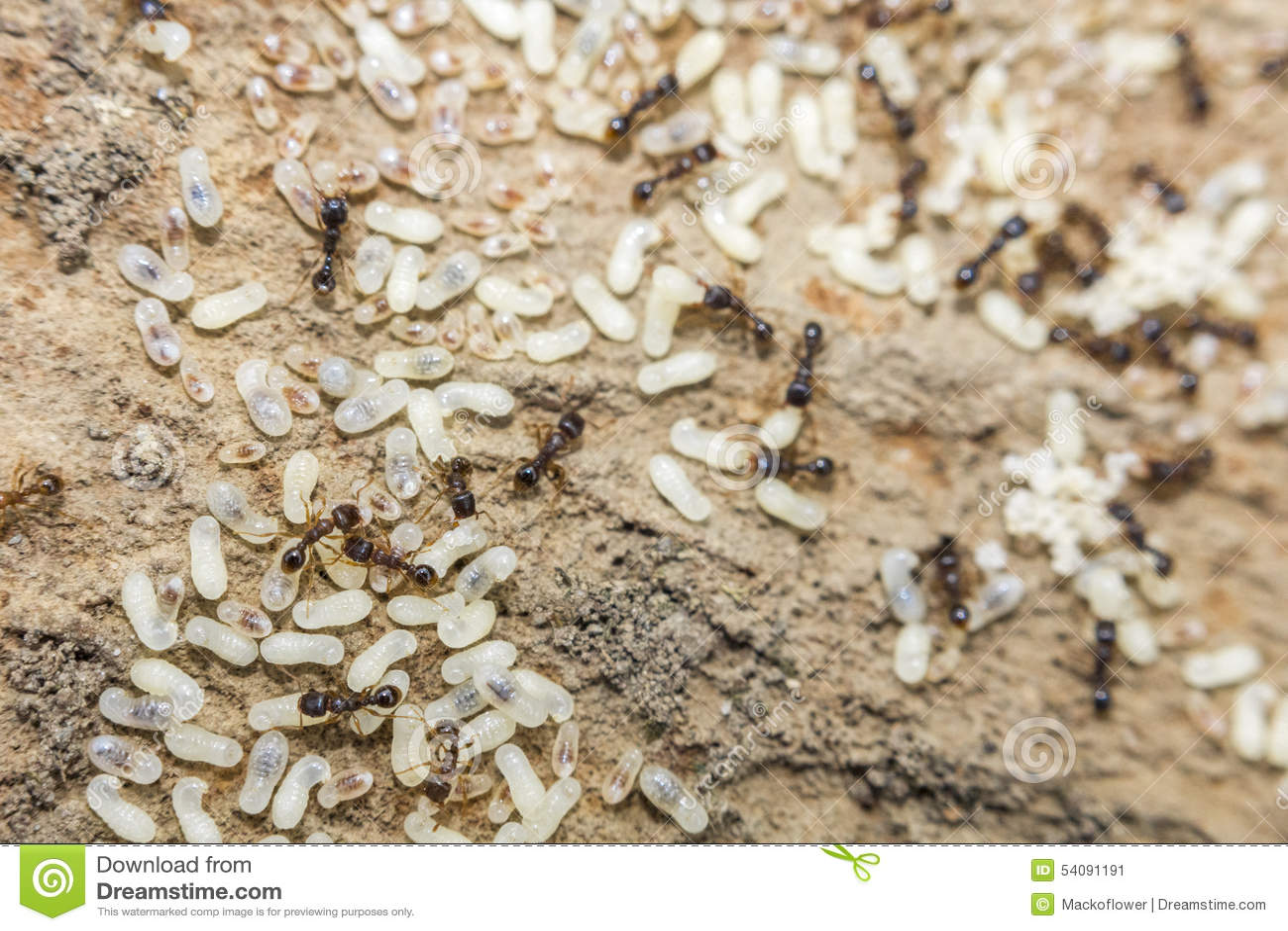 Rode Miereneieren