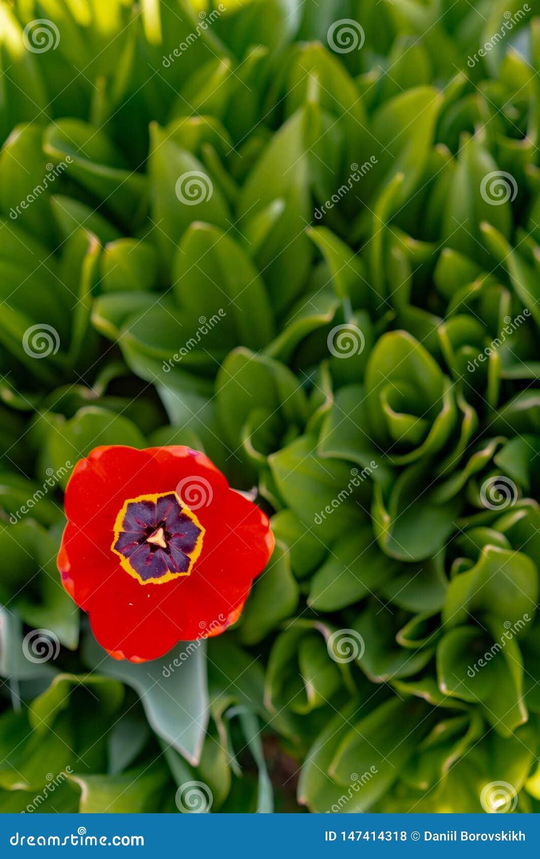 Rode Open tulp op de achtergrond van groene bloemen
