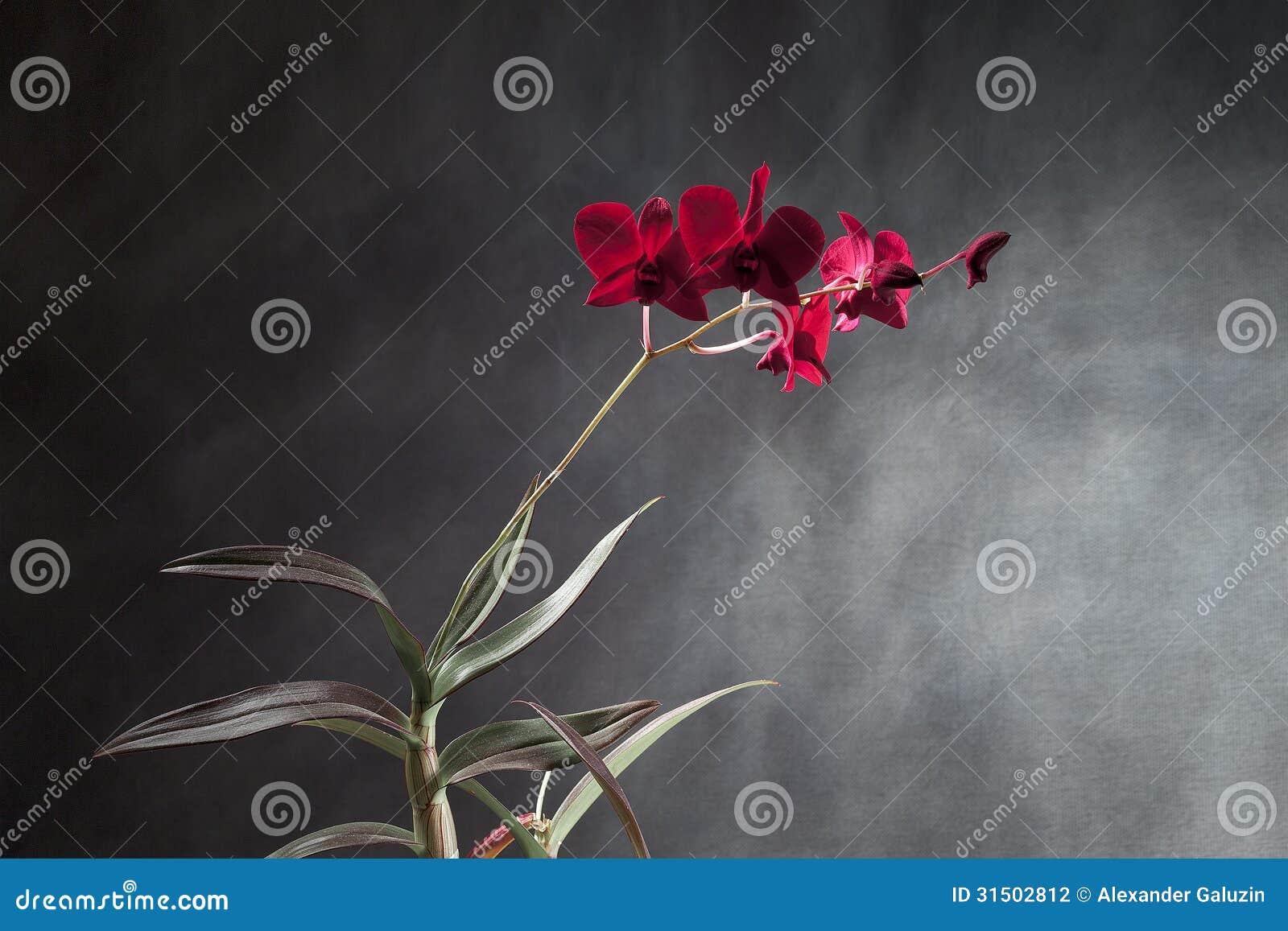 Rode orchidee stock afbeeldingen   afbeelding: 11076424