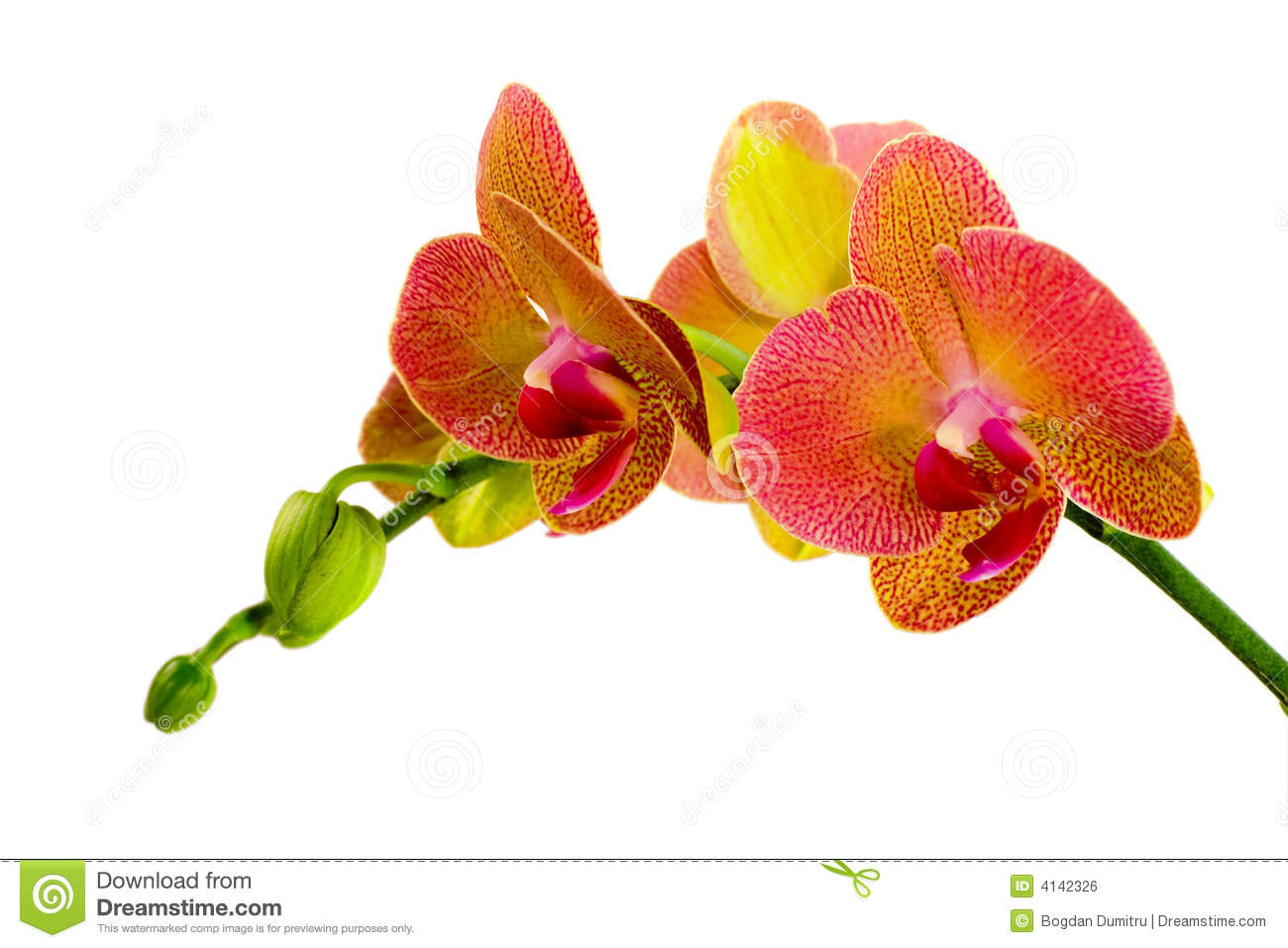 Rode Orchidee