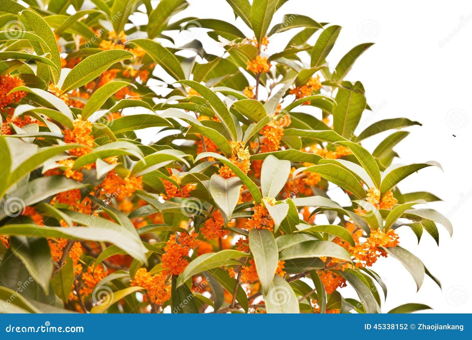 Rode osmanthusbloemen