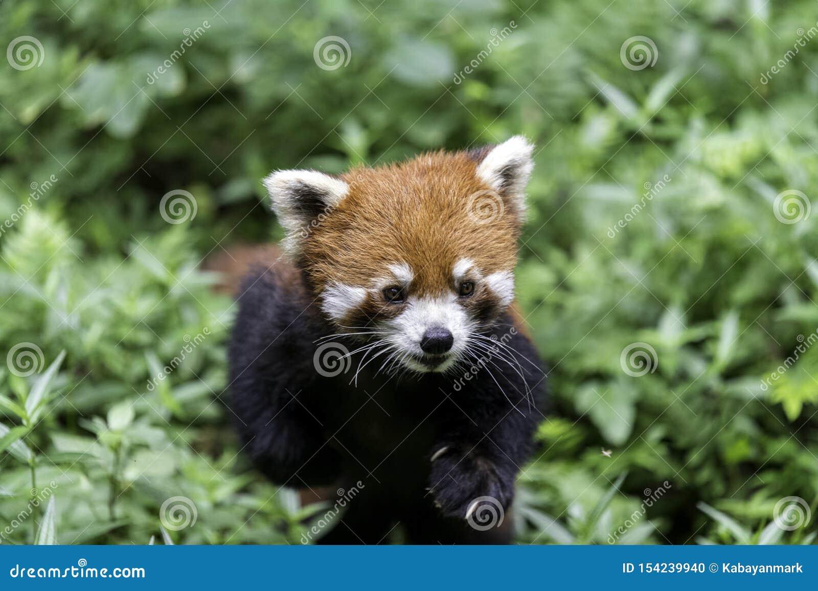 Rode pandachengdu natuurlijk China, die camera onderzoeken van onderaan,