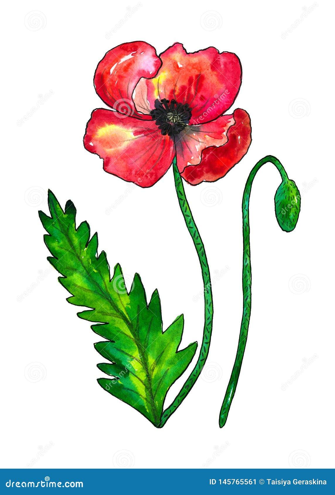 Rode papaver Kleurrijke bloem en groen blad Waterverfhand getrokken die illustratie op witte achtergrond wordt ge?soleerd