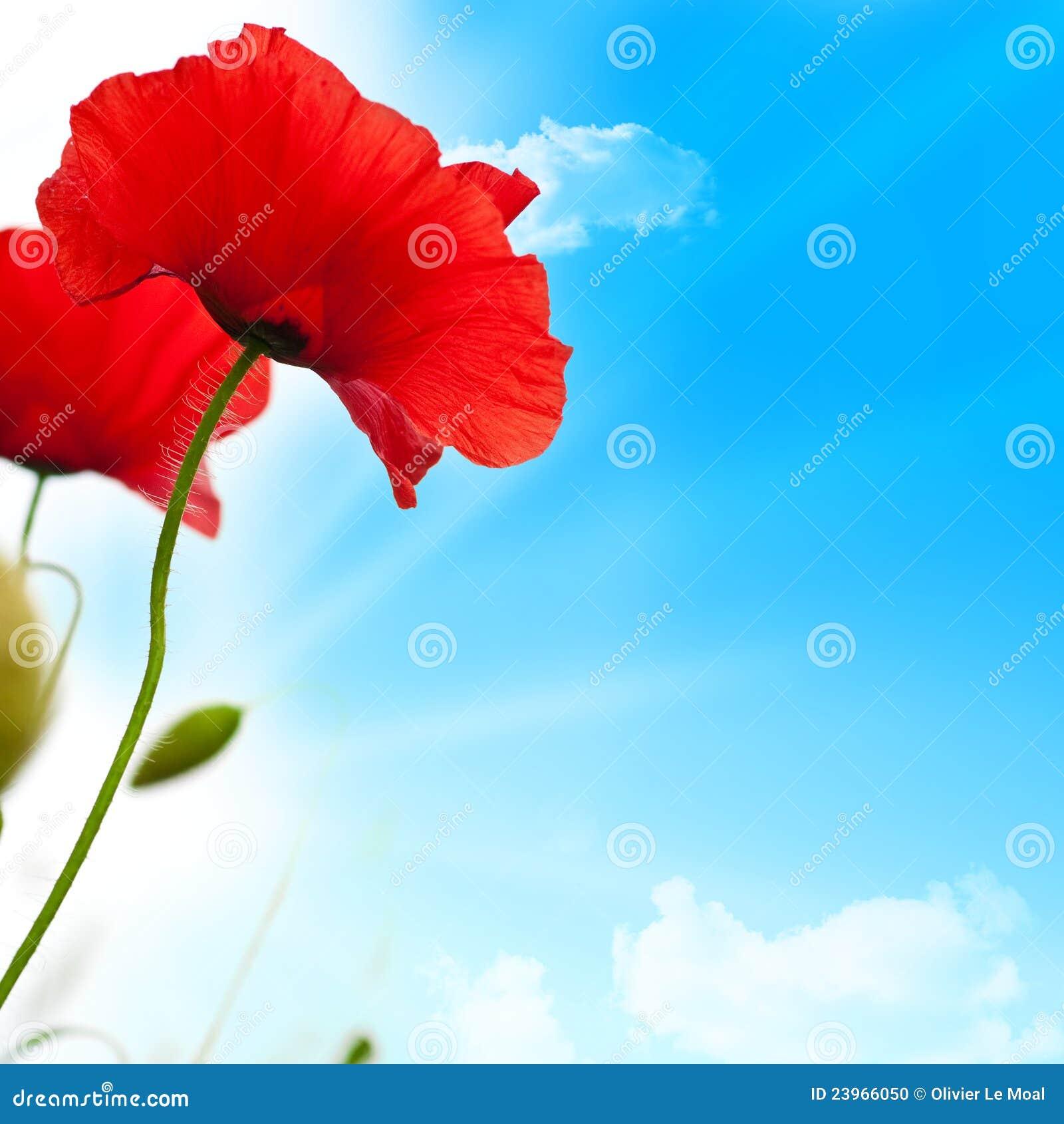 Rode papavers, blauwe hemel