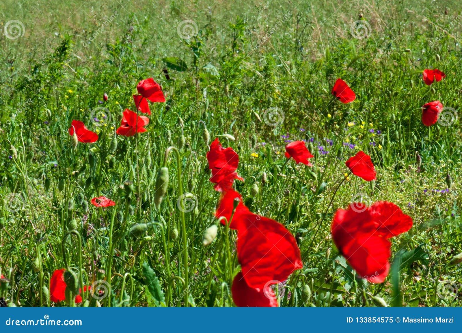 Rode papavers in Toscanië