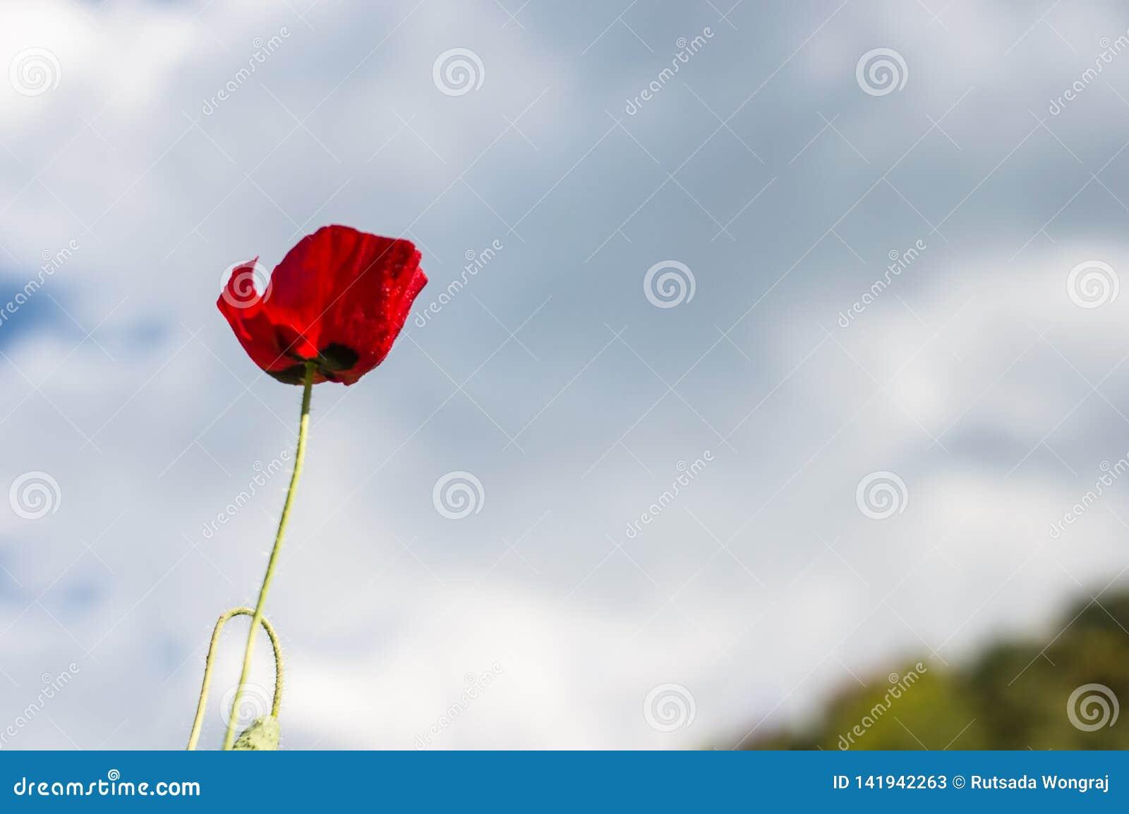 Rode papaversbloei op de blauwe hemelachtergrond